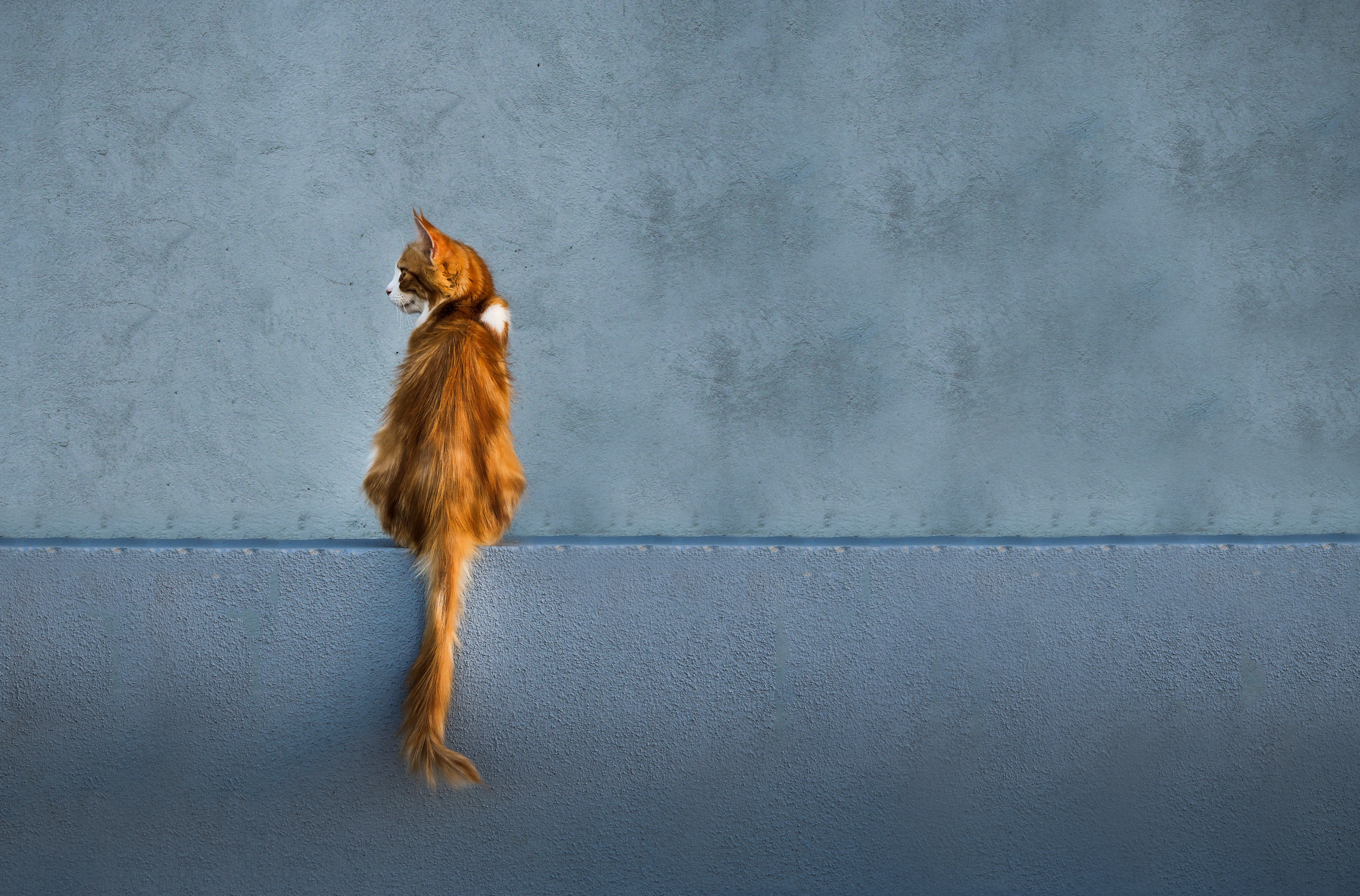 62733 download wallpaper Animals, Cat, Redhead, Wall, Is Sitting, Sits, Looks, Back, Tail screensavers and pictures for free