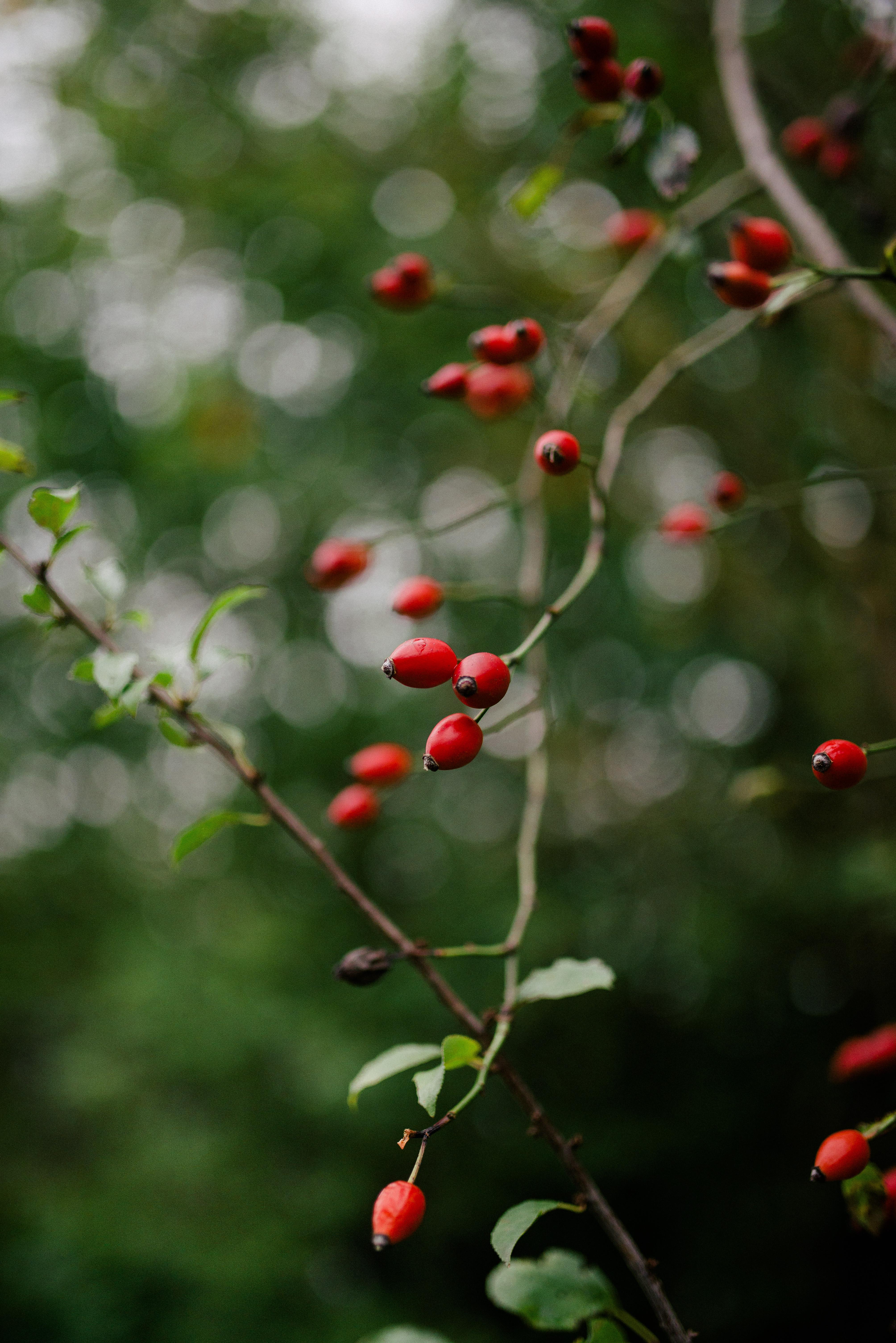 111125 скачать обои Природа, Шиповник, Куст, Растение, Ягода - заставки и картинки бесплатно