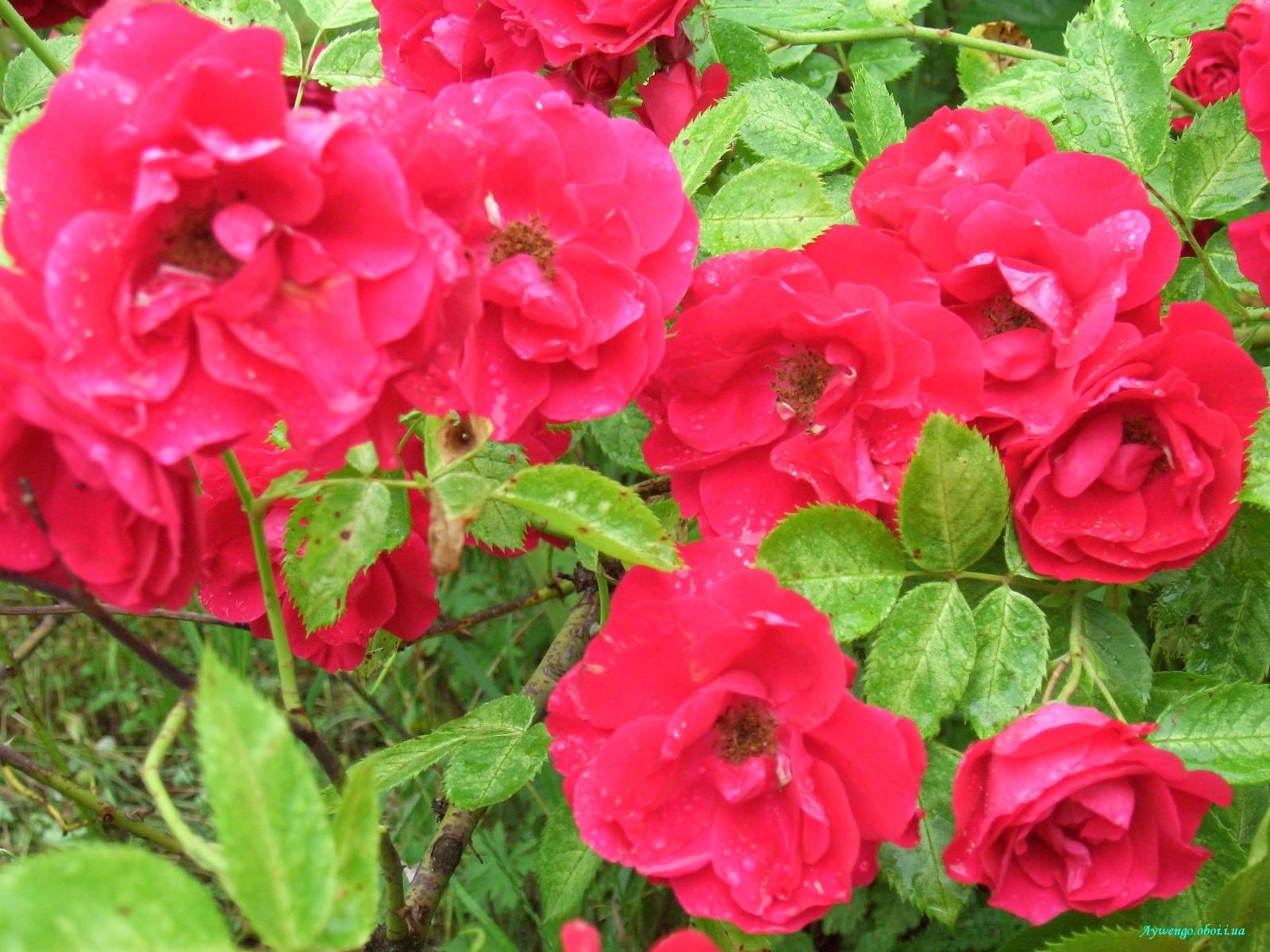 7591 скачать обои Растения, Цветы, Розы - заставки и картинки бесплатно