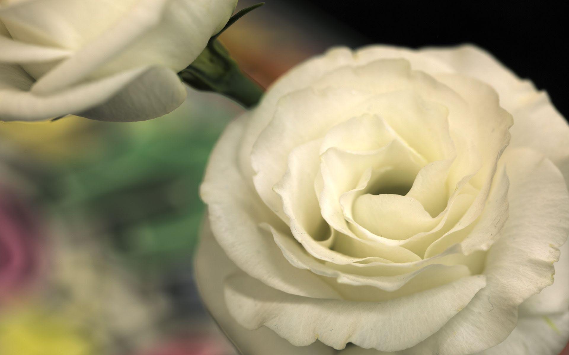 22529 télécharger le fond d'écran Plantes, Fleurs, Roses - économiseurs d'écran et images gratuitement