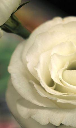 22529 скачать обои Растения, Цветы, Розы - заставки и картинки бесплатно