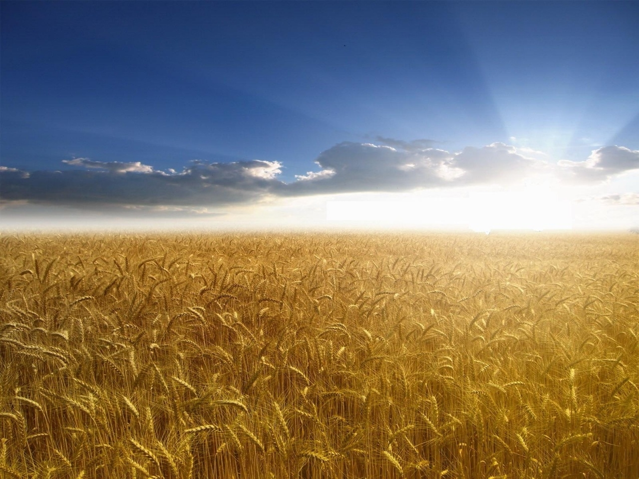 8890 скачать обои Пейзаж, Поля, Небо, Солнце, Пшеница - заставки и картинки бесплатно