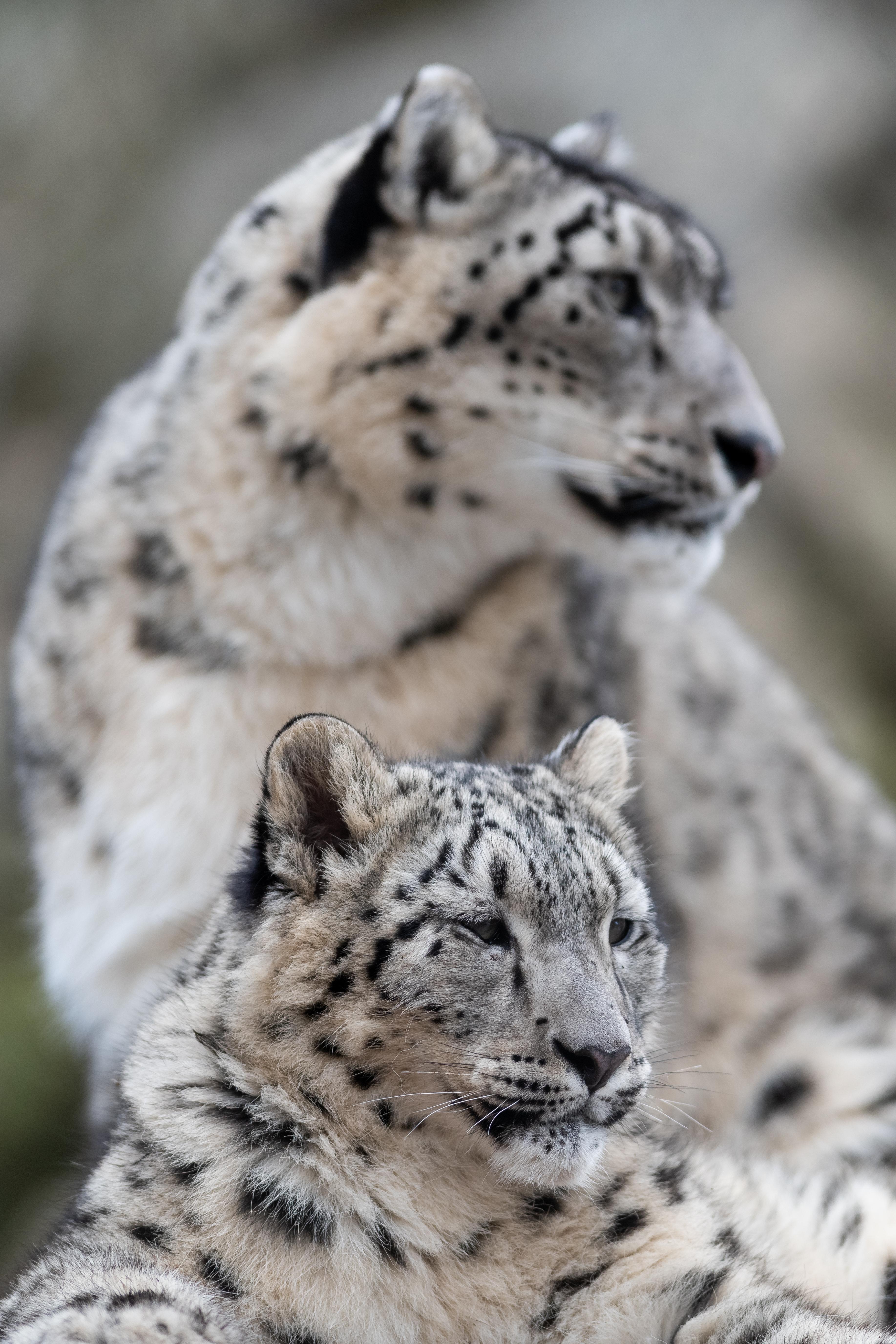 131686 скачать обои Животные, Снежный Леопард, Барс, Леопард, Хищник, Большая Кошка, Дикая Природа - заставки и картинки бесплатно