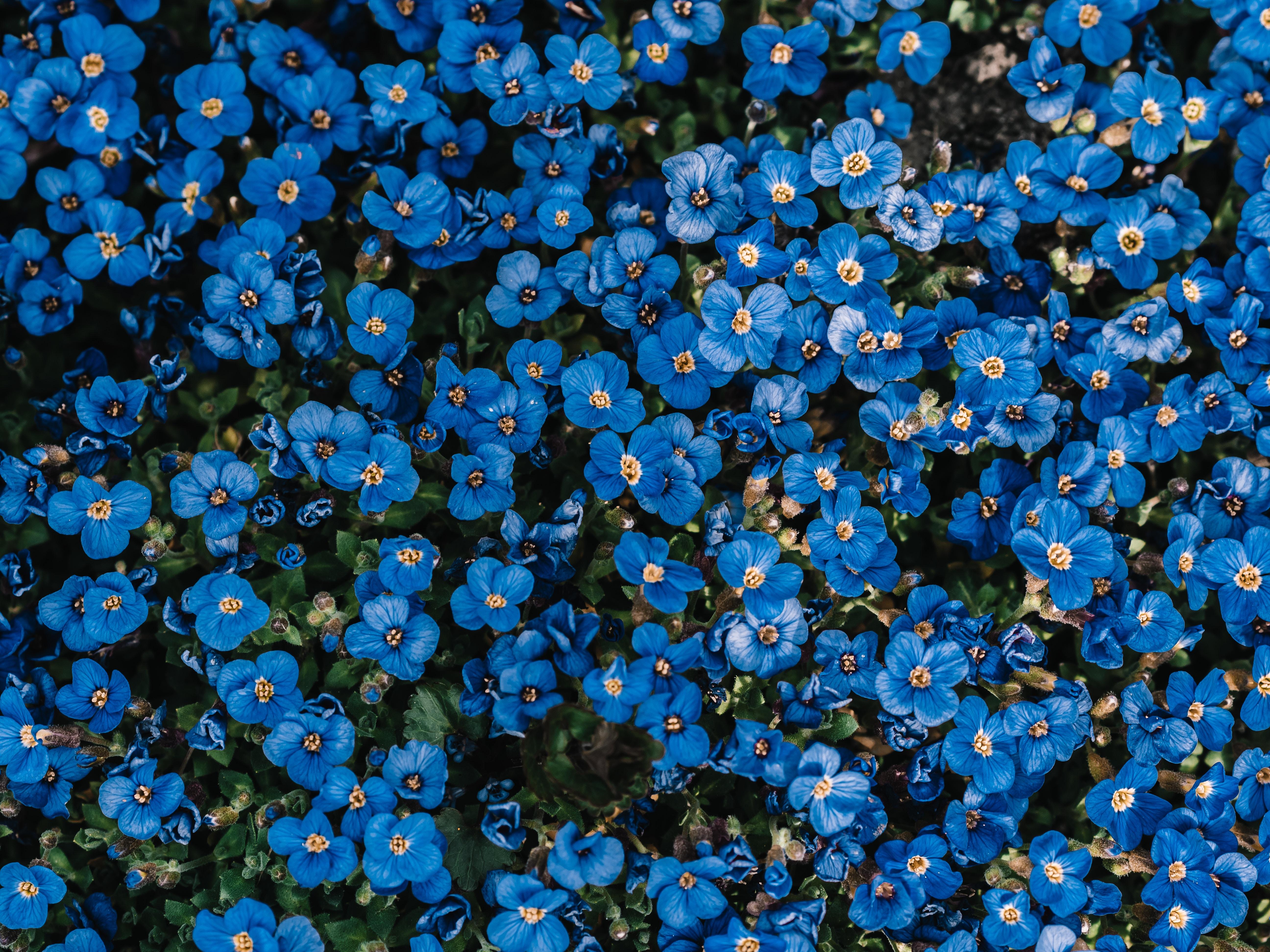 108975 скачать обои Цветы, Синий, Цветение, Растение, Декоративный - заставки и картинки бесплатно