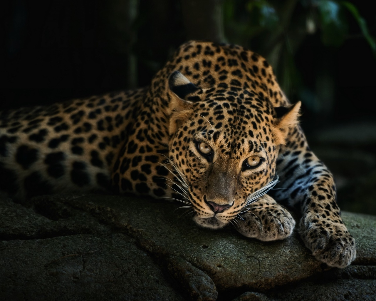 21291 download wallpaper Animals, Leopards screensavers and pictures for free