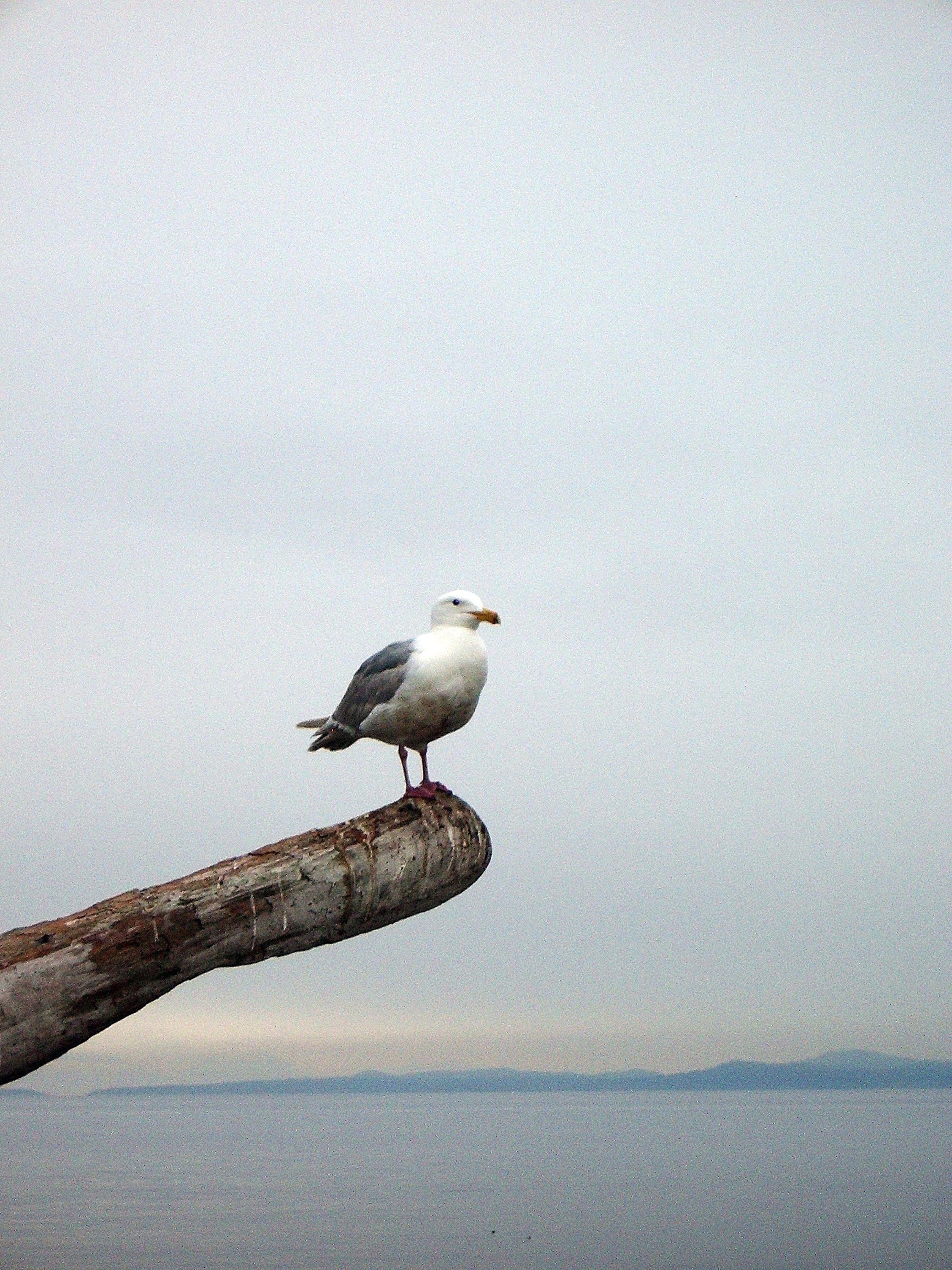 50565 download wallpaper Animals, Gull, Seagull, Bird, Beam, Horizon screensavers and pictures for free