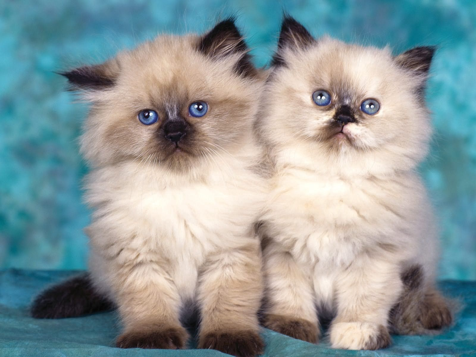 147137 download wallpaper Animals, Sit, Fluffy, Couple, Pair, Kittens screensavers and pictures for free