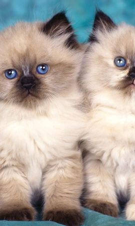 147137 download wallpaper Animals, Kittens, Couple, Pair, Fluffy, Sit screensavers and pictures for free