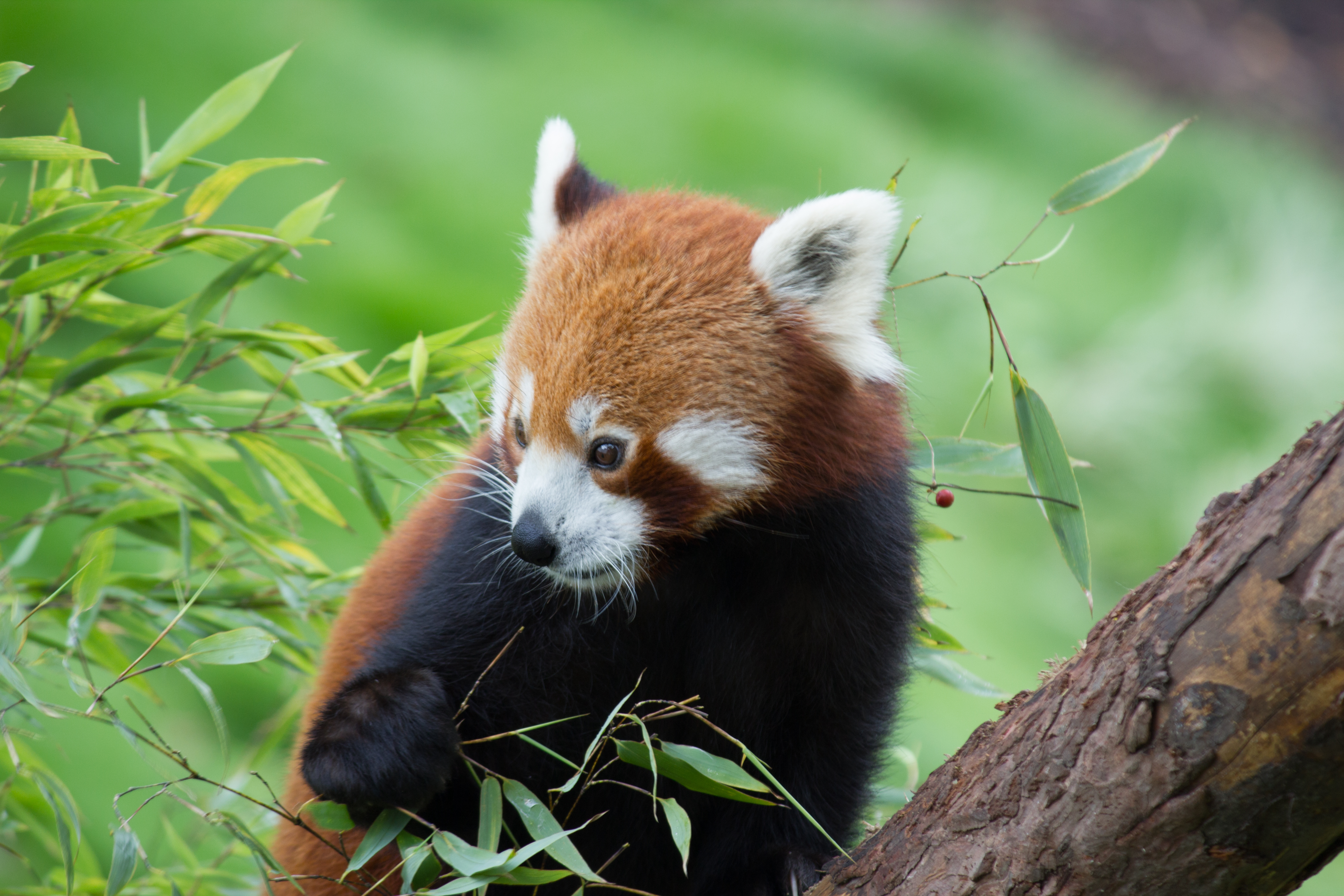 100876 download wallpaper Animals, Red Panda, Bamboo, Nice, Sweetheart, Animal screensavers and pictures for free