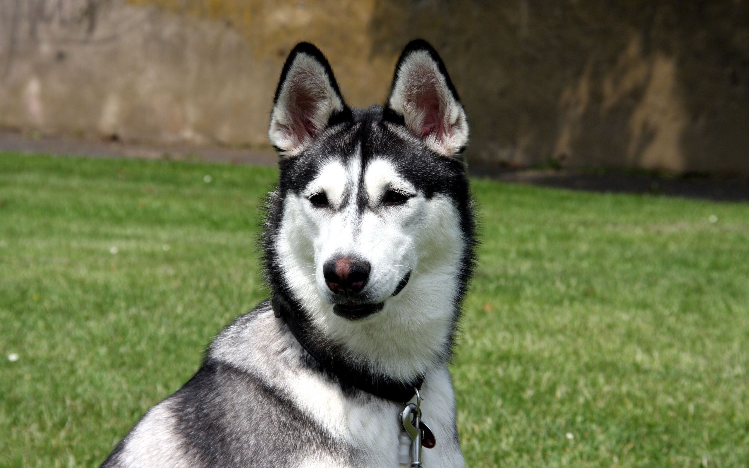 131581 download wallpaper Animals, Husky, Haska, Muzzle, Dog, Sight, Opinion screensavers and pictures for free