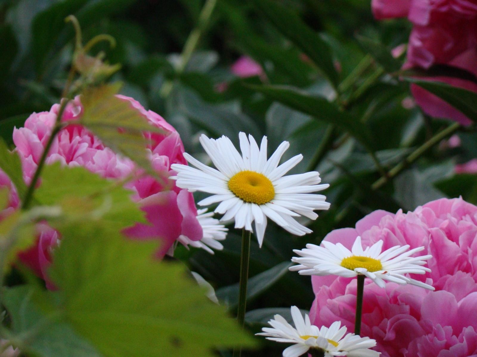 6080 скачать обои Растения, Цветы, Ромашки - заставки и картинки бесплатно