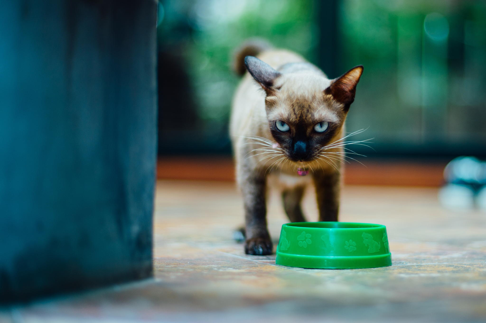116110 download wallpaper Animals, Kitty, Kitten, Siamese, Sight, Opinion, Bowl screensavers and pictures for free
