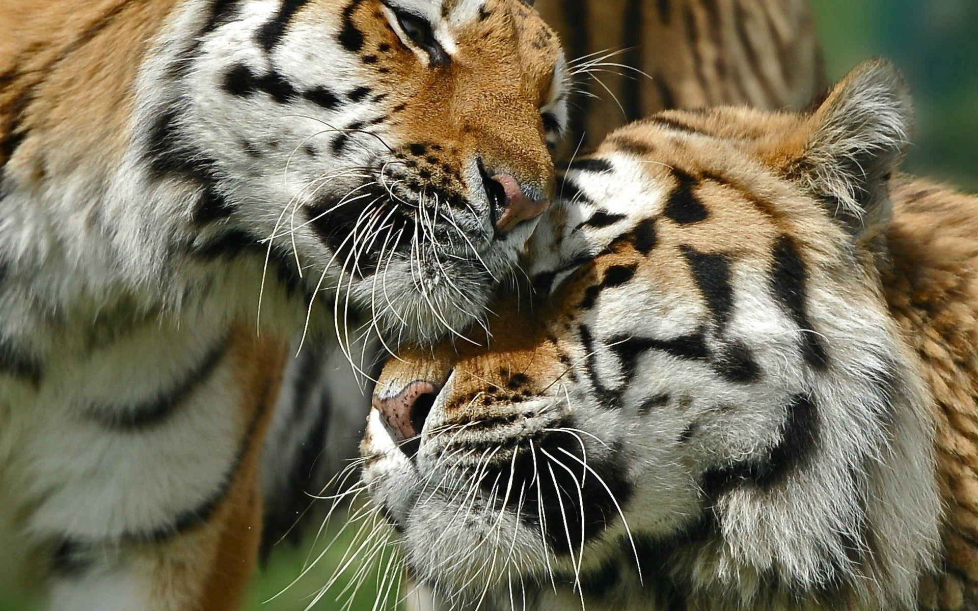 141057壁紙のダウンロード動物, カップル, 双, ラブ, お手入れ, 丁寧, 大きな猫, ビッグキャット, 阪神タイガース-スクリーンセーバーと写真を無料で
