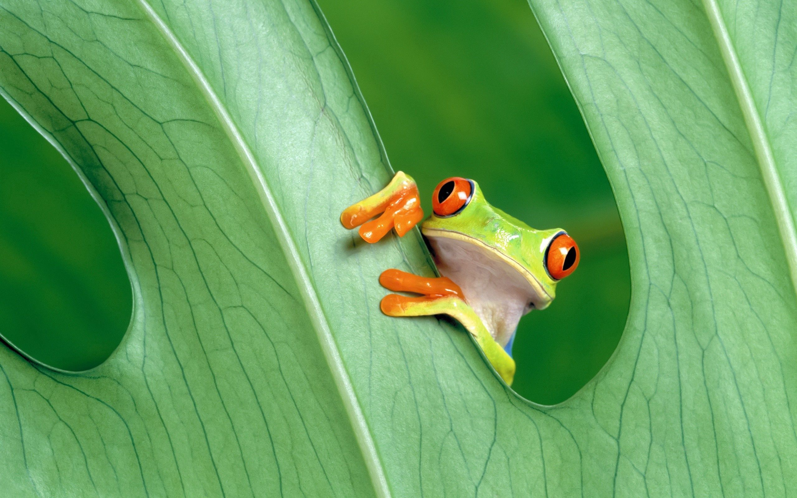75023 download wallpaper Animals, Frog, Sheet, Leaf, Grass, Peek Out, Look Out screensavers and pictures for free