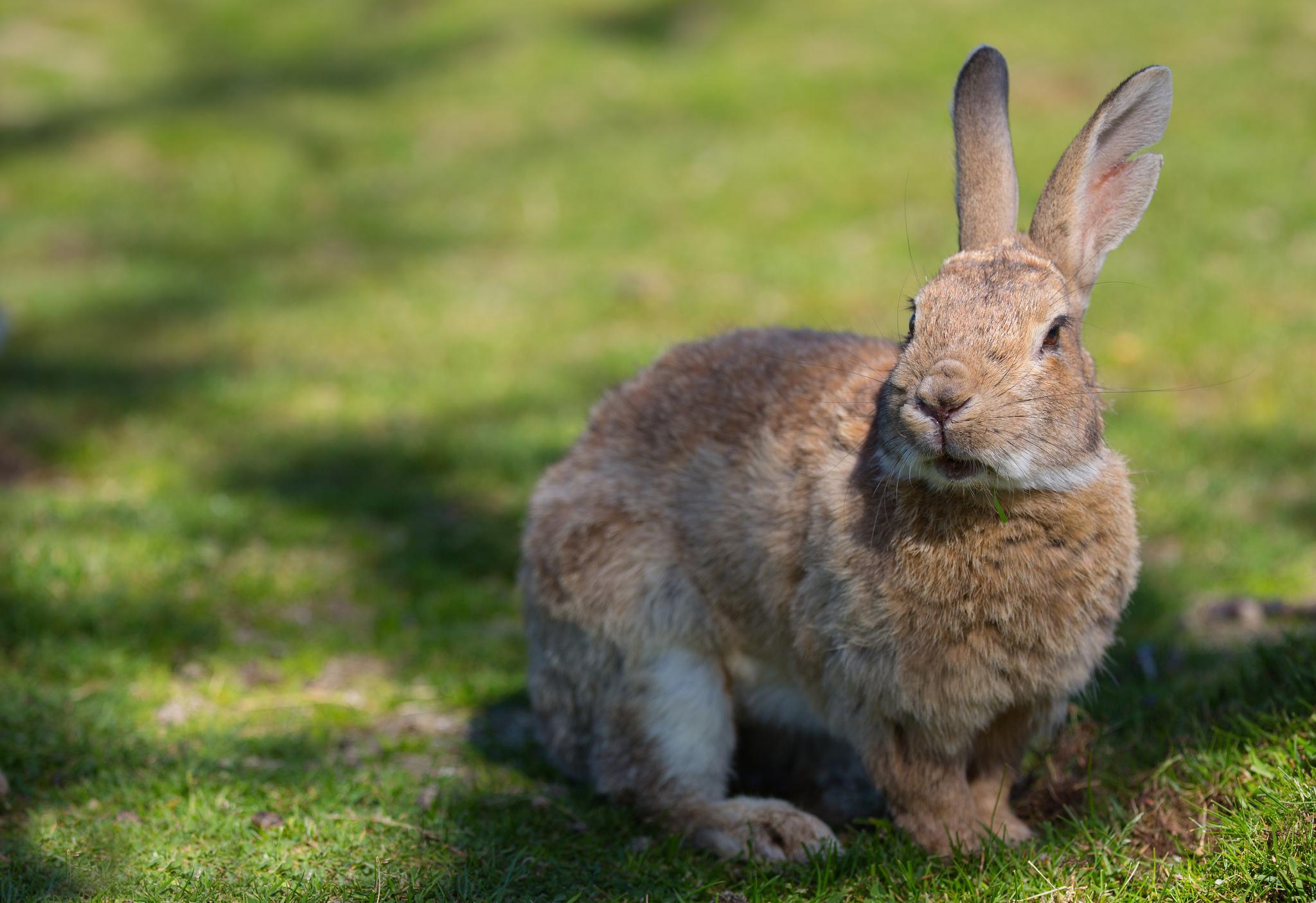 100104 Hintergrundbild herunterladen Kaninchen, Tiere, Grass, Schatten, Ohren - Bildschirmschoner und Bilder kostenlos