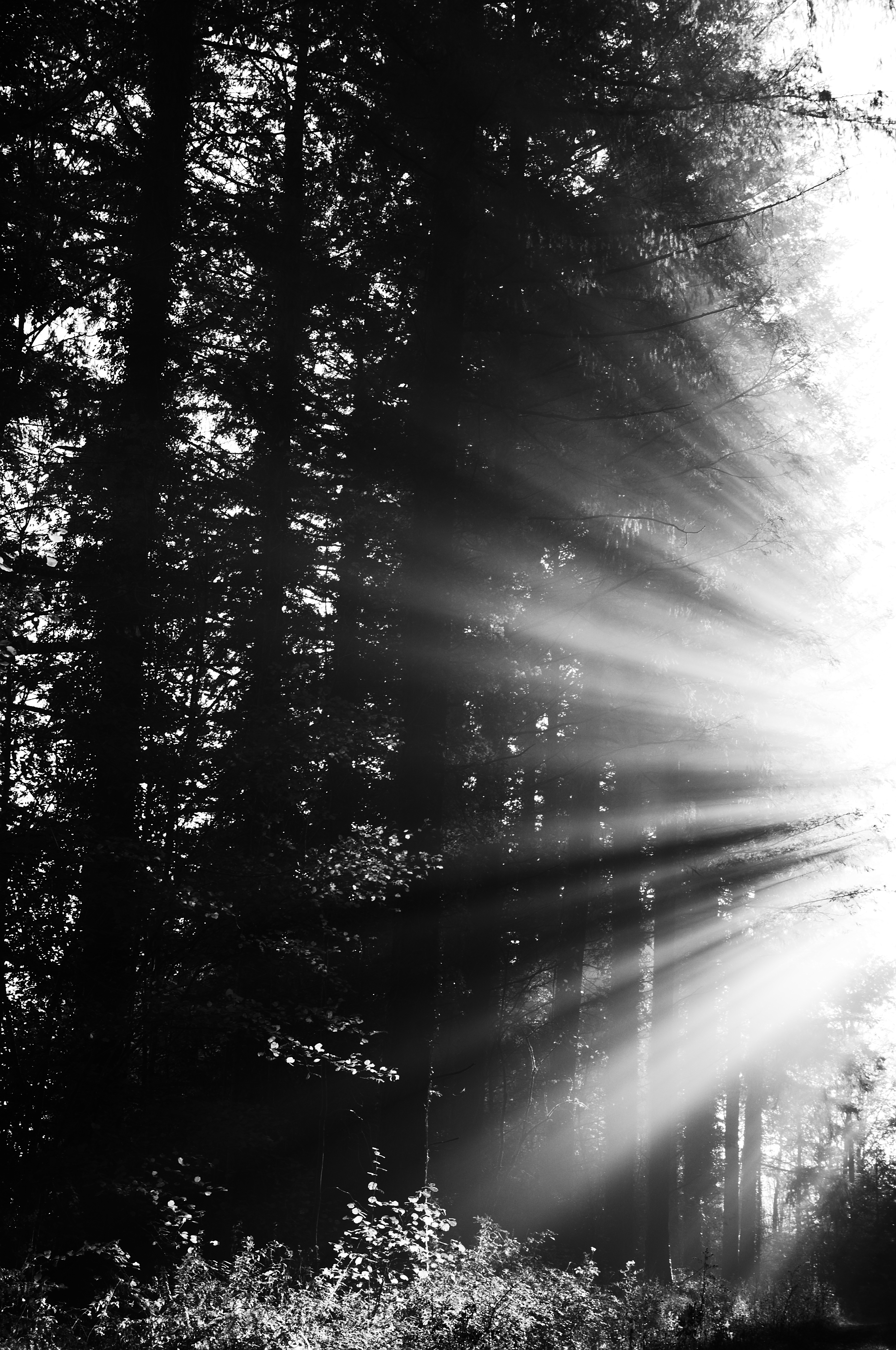 117483 download wallpaper Nature, Forest, Beams, Rays, Bw, Chb, Sun screensavers and pictures for free
