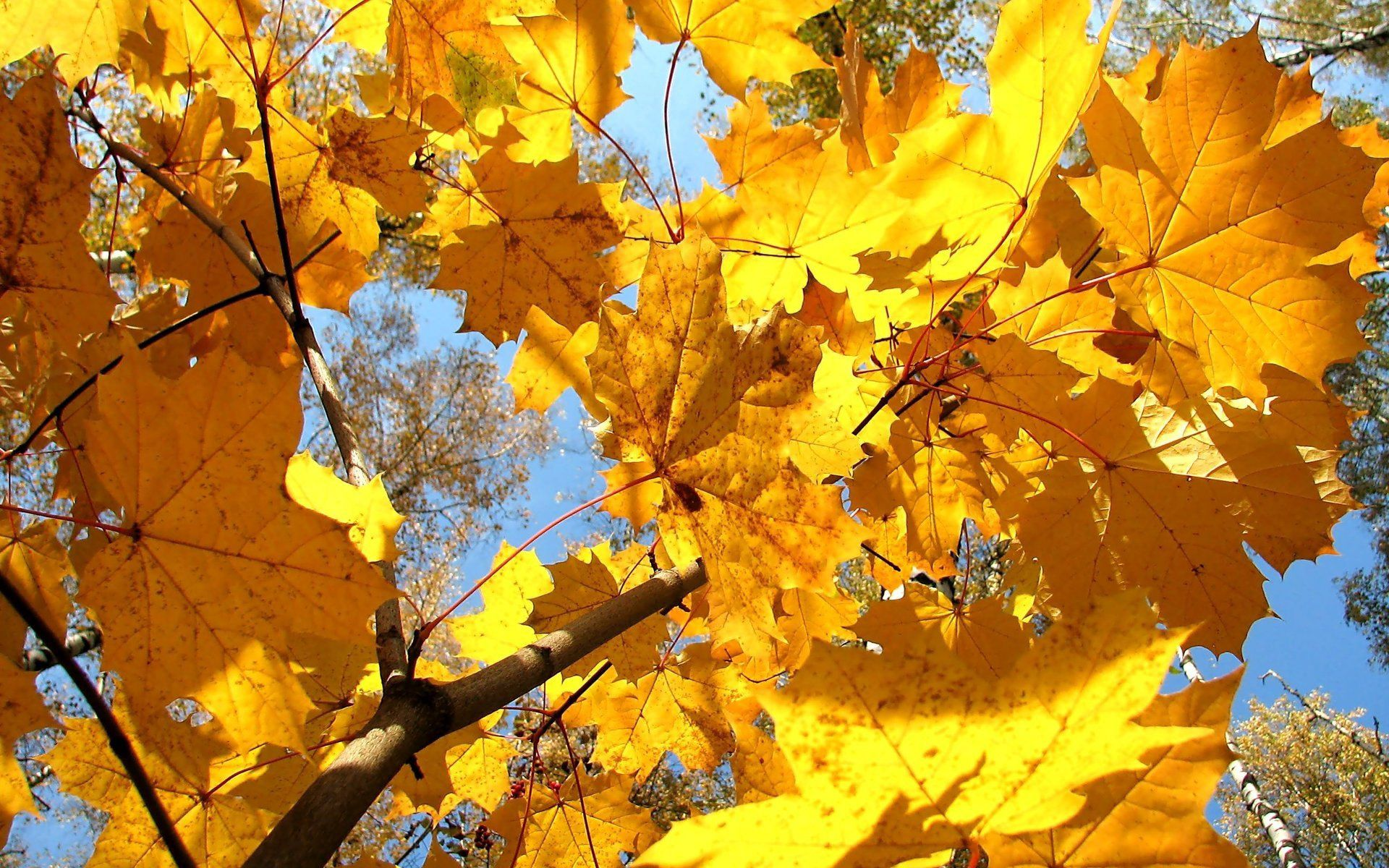 70494 download wallpaper Nature, Leaves, Maple, Dry, Branch screensavers and pictures for free