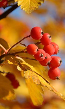 27196 скачать обои Растения, Осень, Листья, Ягоды - заставки и картинки бесплатно