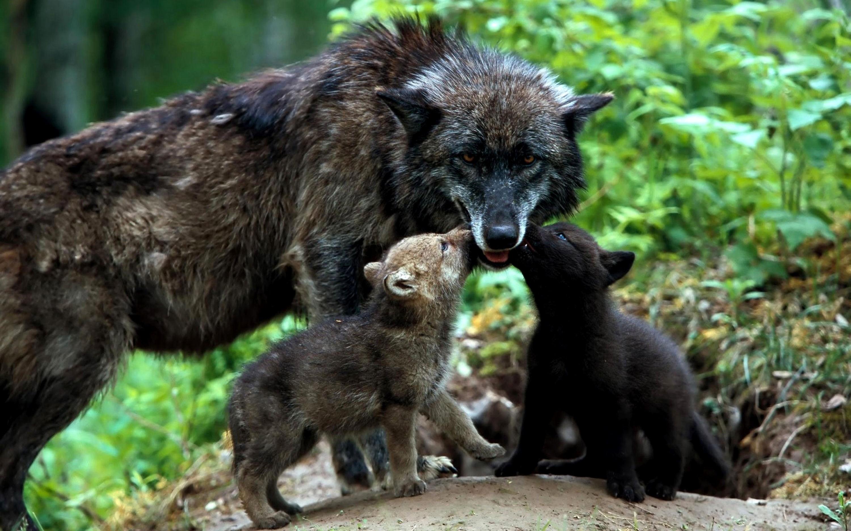 100826 Hintergrundbild herunterladen Tiere, Wölfe, Grass, Die Familie, Familie, Welpen - Bildschirmschoner und Bilder kostenlos