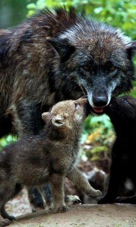 100826 baixar papel de parede Animais, Lobos, Uma Família, Família, Grama, Filhotes - protetores de tela e imagens gratuitamente