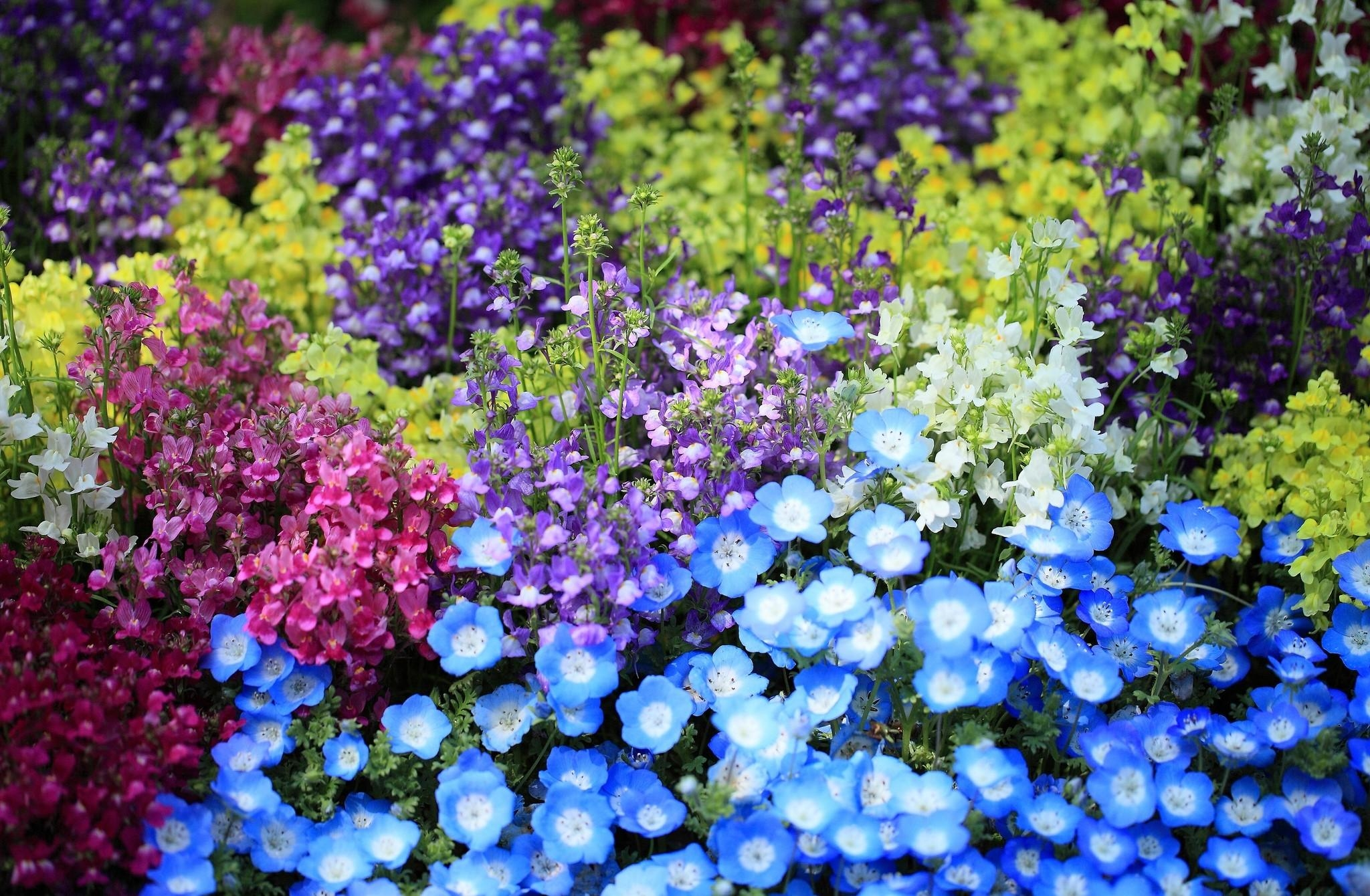140653 download wallpaper Flowers, Nemophiles, Snapdragon, Flower Bed, Flowerbed, Brightly, Colorfully, Graphically screensavers and pictures for free