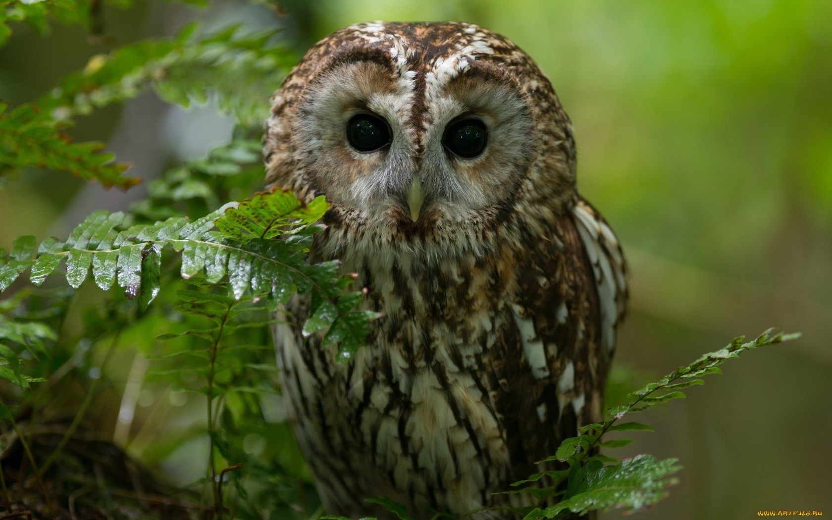15312 download wallpaper Animals, Birds, Owl screensavers and pictures for free