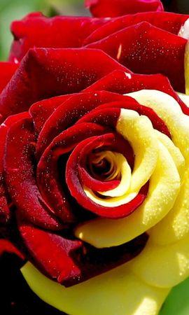 9775 скачать обои Растения, Цветы, Розы - заставки и картинки бесплатно