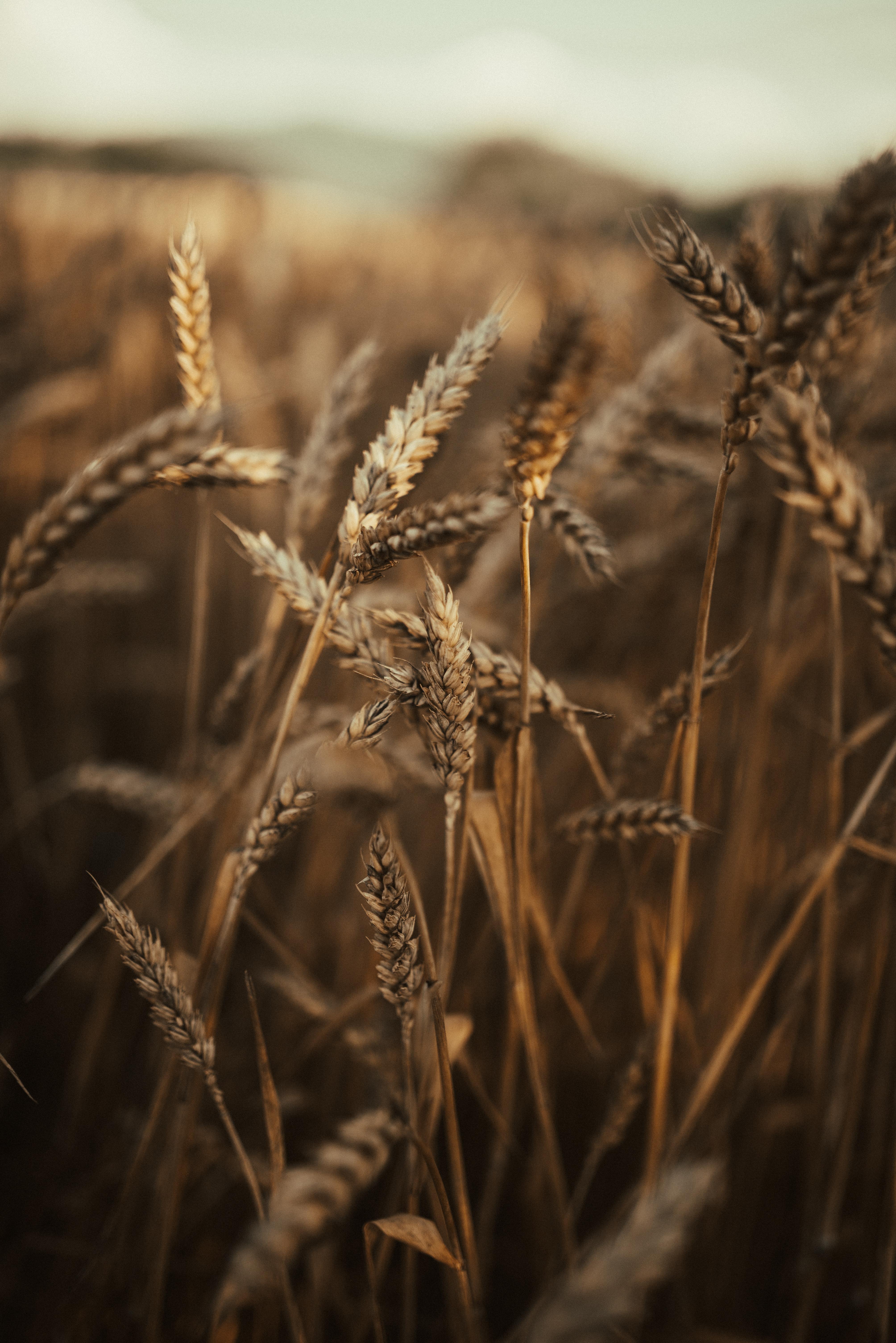 71695 скачать обои Природа, Колосья, Поле, Сухой, Трава, Пшеница - заставки и картинки бесплатно