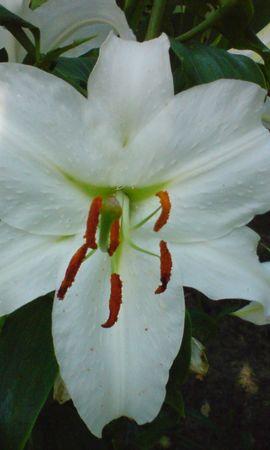 3603 скачать обои Растения, Цветы, Лилии - заставки и картинки бесплатно