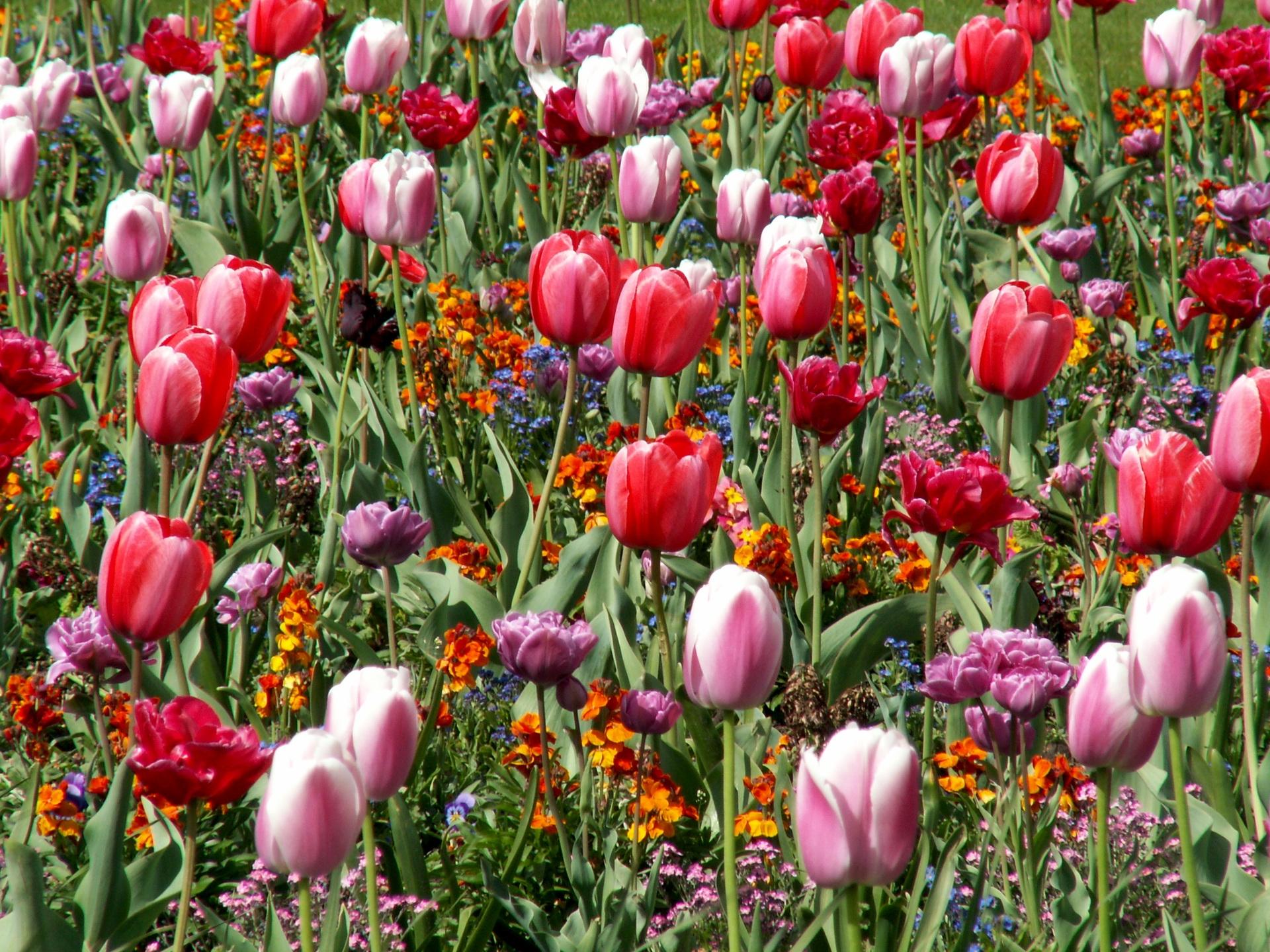 84773 descargar fondo de pantalla Flores, Cama De Flores, Parterre, Primavera, Estado Animico, Humor, Tulipanes: protectores de pantalla e imágenes gratis