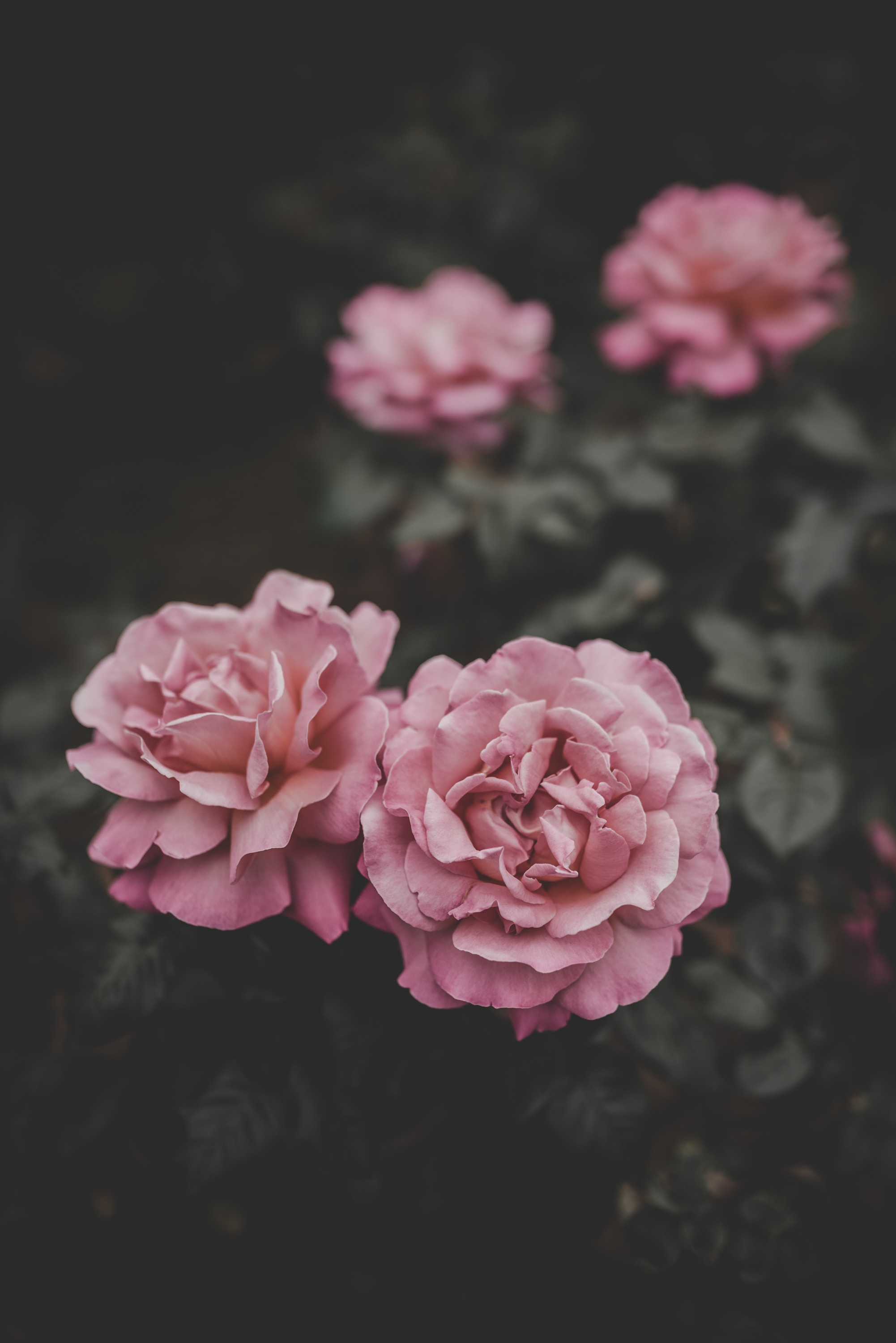 136619 download wallpaper Flowers, Buds, Pink, Blur, Smooth, Roses screensavers and pictures for free