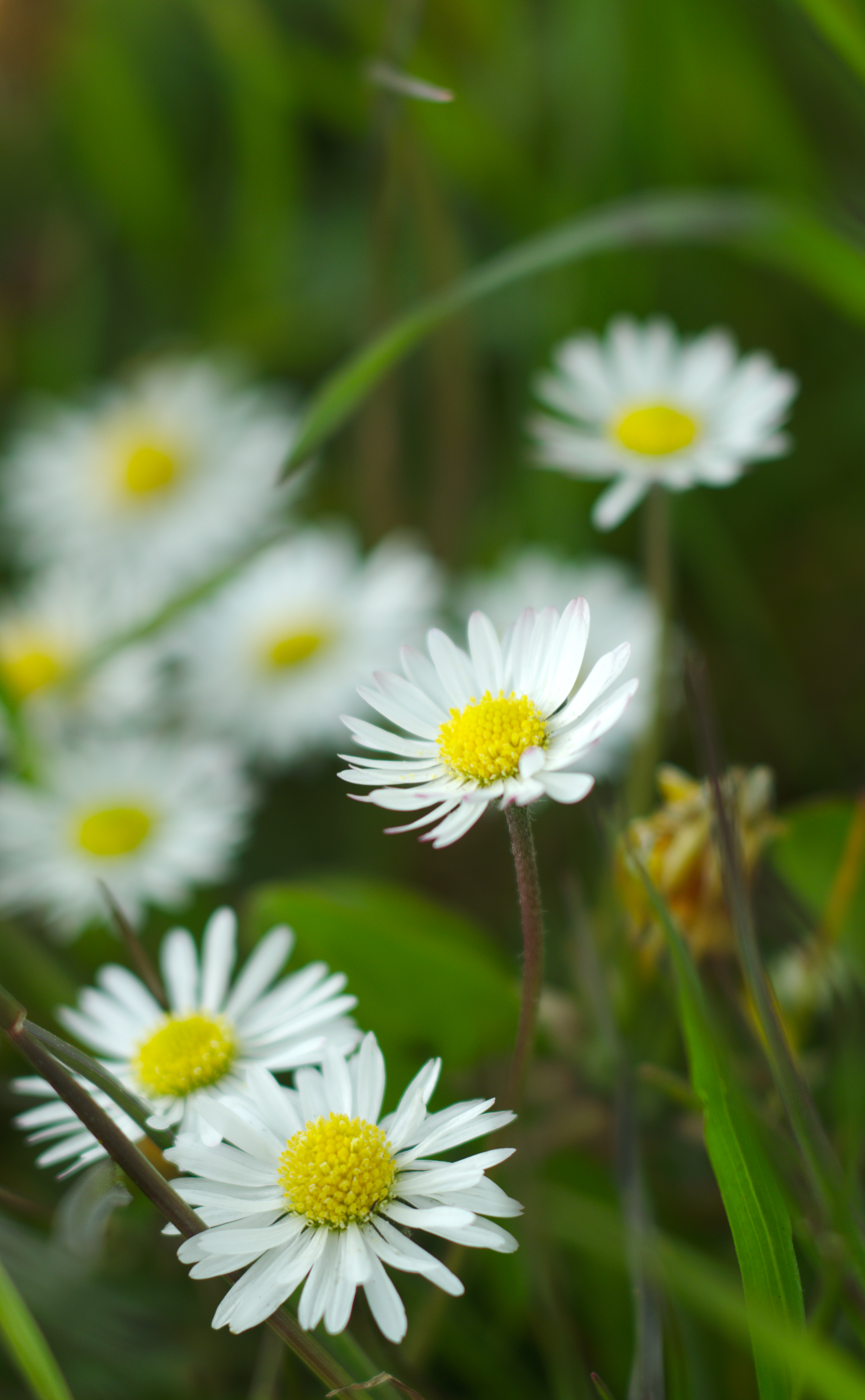 73646 download wallpaper Flowers, Chamomile, Camomile, Wildflowers, Petals, Grass screensavers and pictures for free