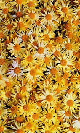 4690 скачать обои Растения, Цветы, Фон, Ромашки - заставки и картинки бесплатно