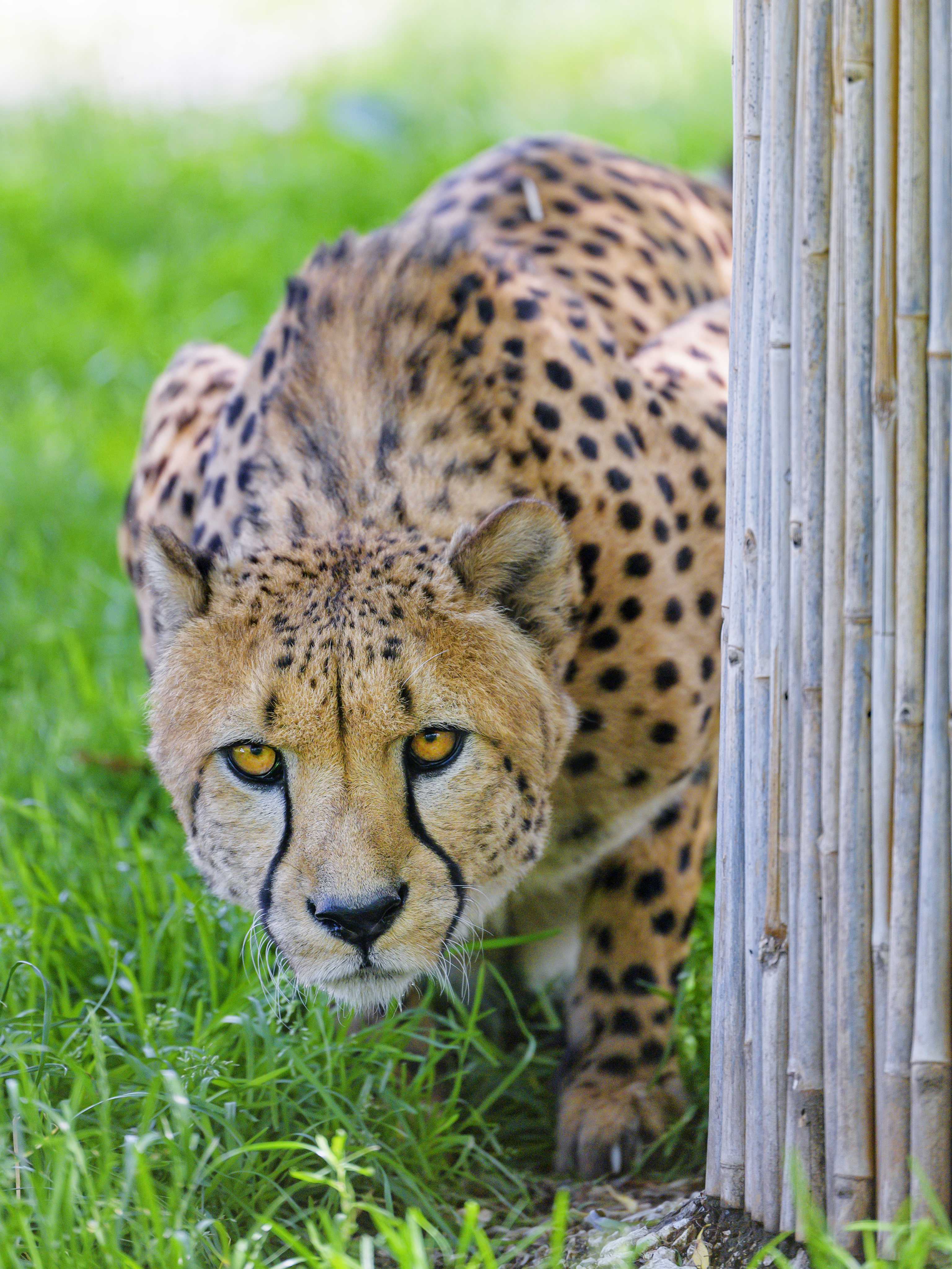 69953 download wallpaper Animals, Cheetah, Predator, Big Cat, Sight, Opinion screensavers and pictures for free