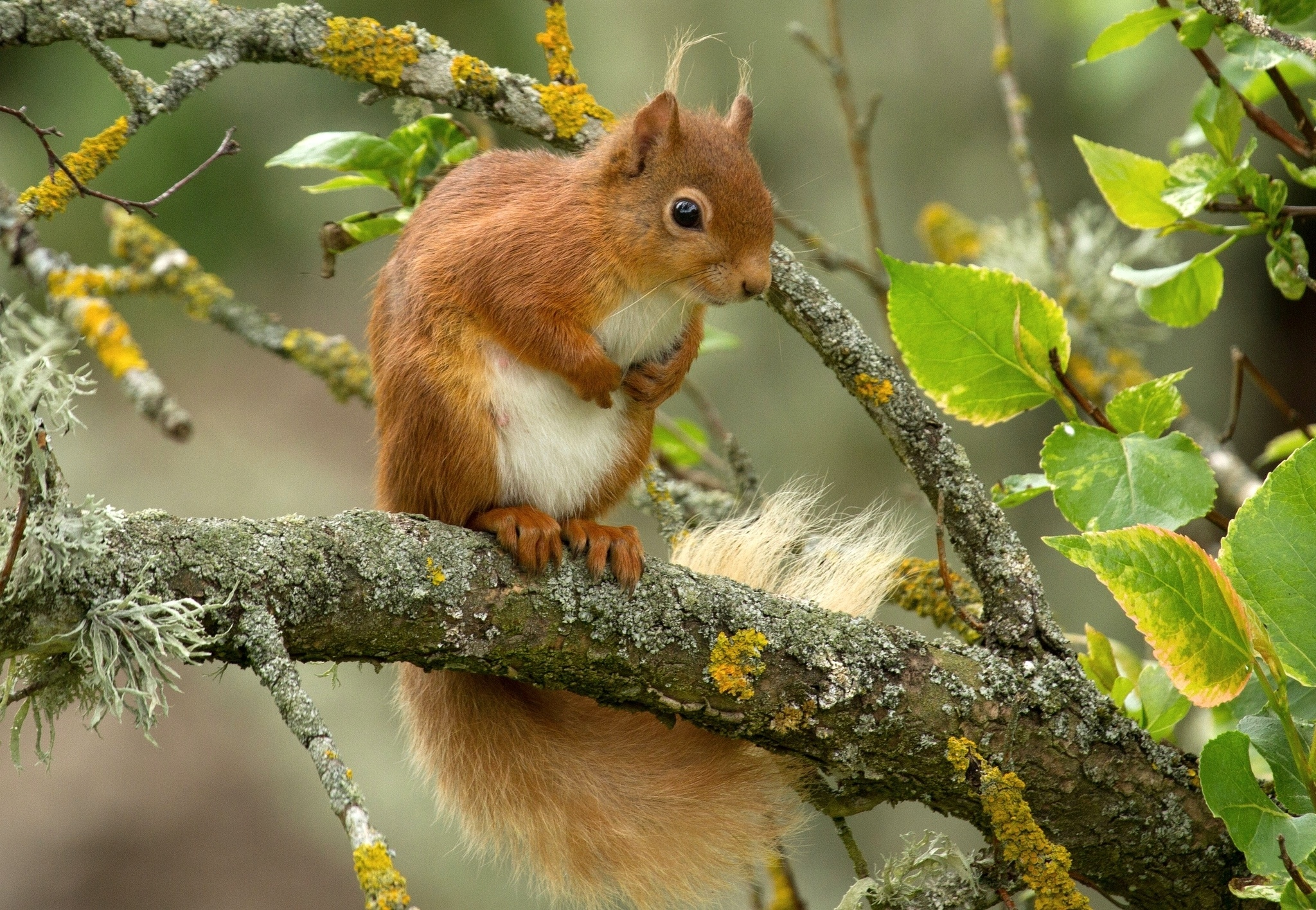 154090 Screensavers and Wallpapers Squirrel for phone. Download Animals, Squirrel, Branch, Animal, Redhead pictures for free
