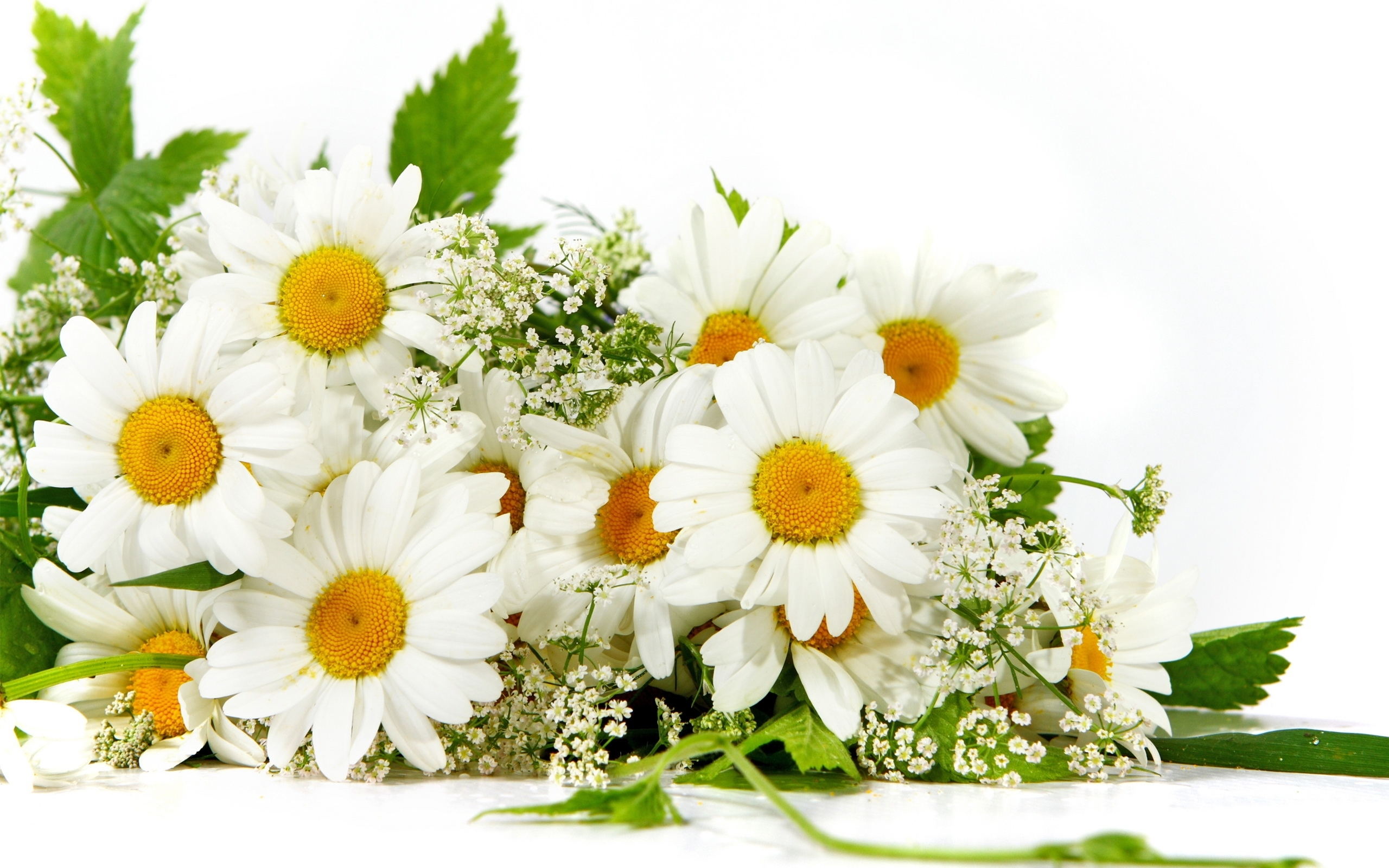 46884 download wallpaper Plants, Flowers, Camomile screensavers and pictures for free