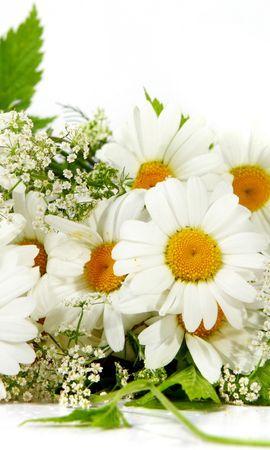 46884 baixar papel de parede Plantas, Flores, Camomila - protetores de tela e imagens gratuitamente