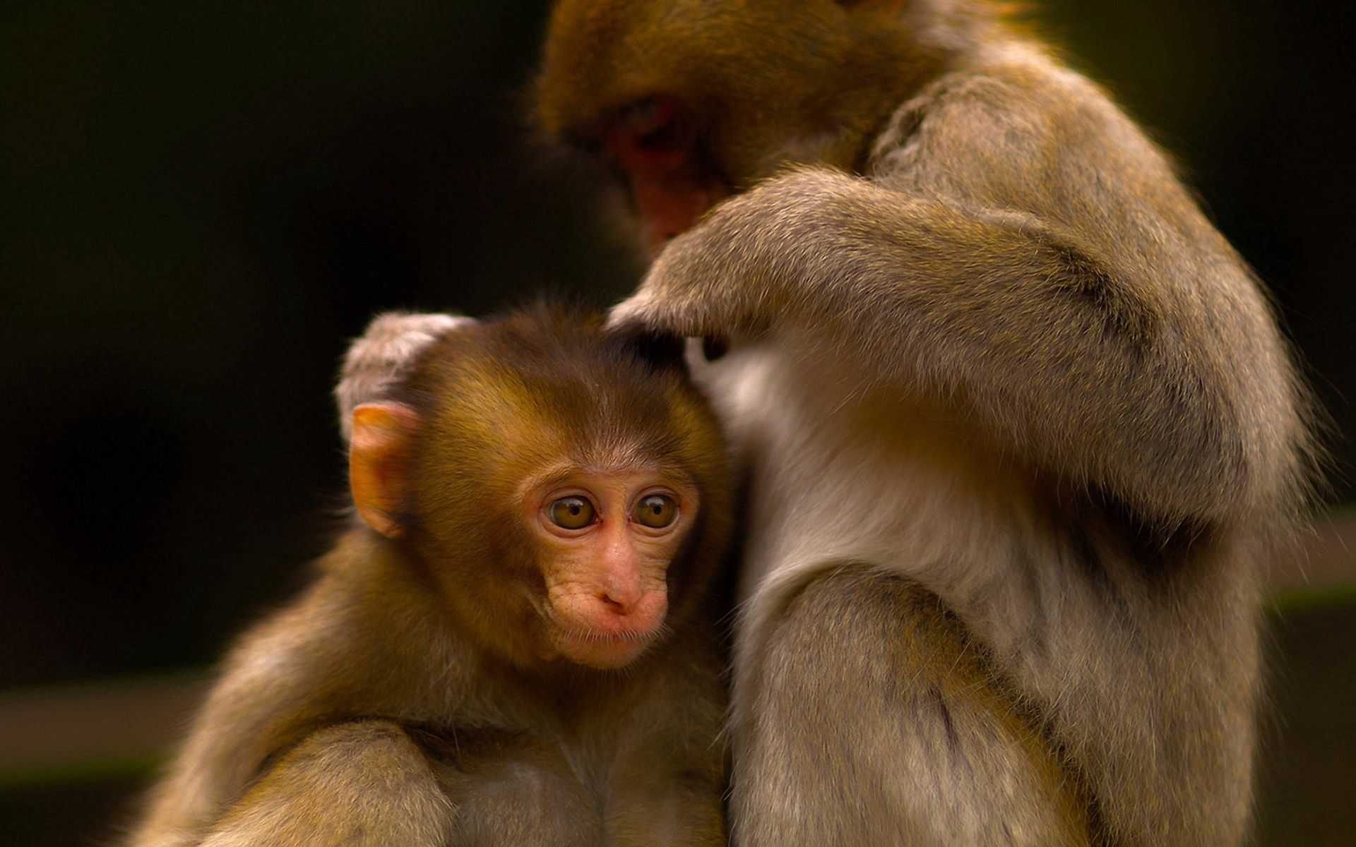 106936 Screensavers and Wallpapers Monkeys for phone. Download Animals, Monkeys, Young, Couple, Pair, Care, Joey pictures for free