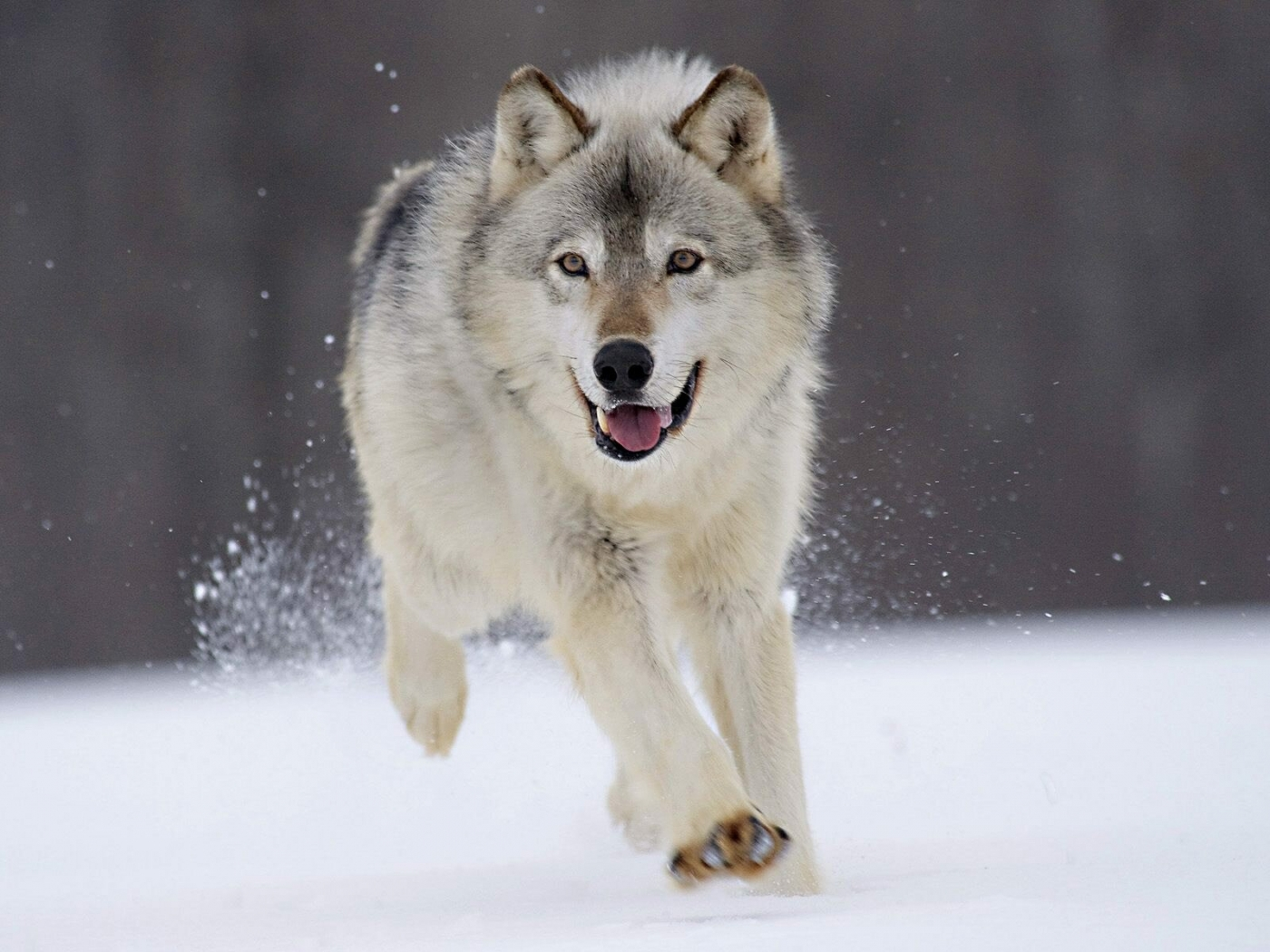 35991 download wallpaper Wolfs, Animals screensavers and pictures for free