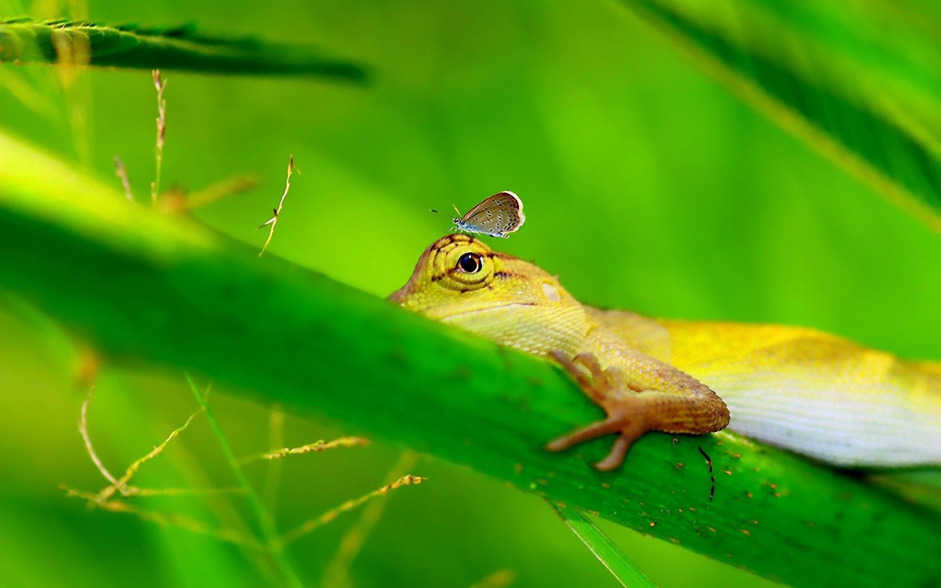 147871 download wallpaper Animals, Lizard, Grass, Paw screensavers and pictures for free