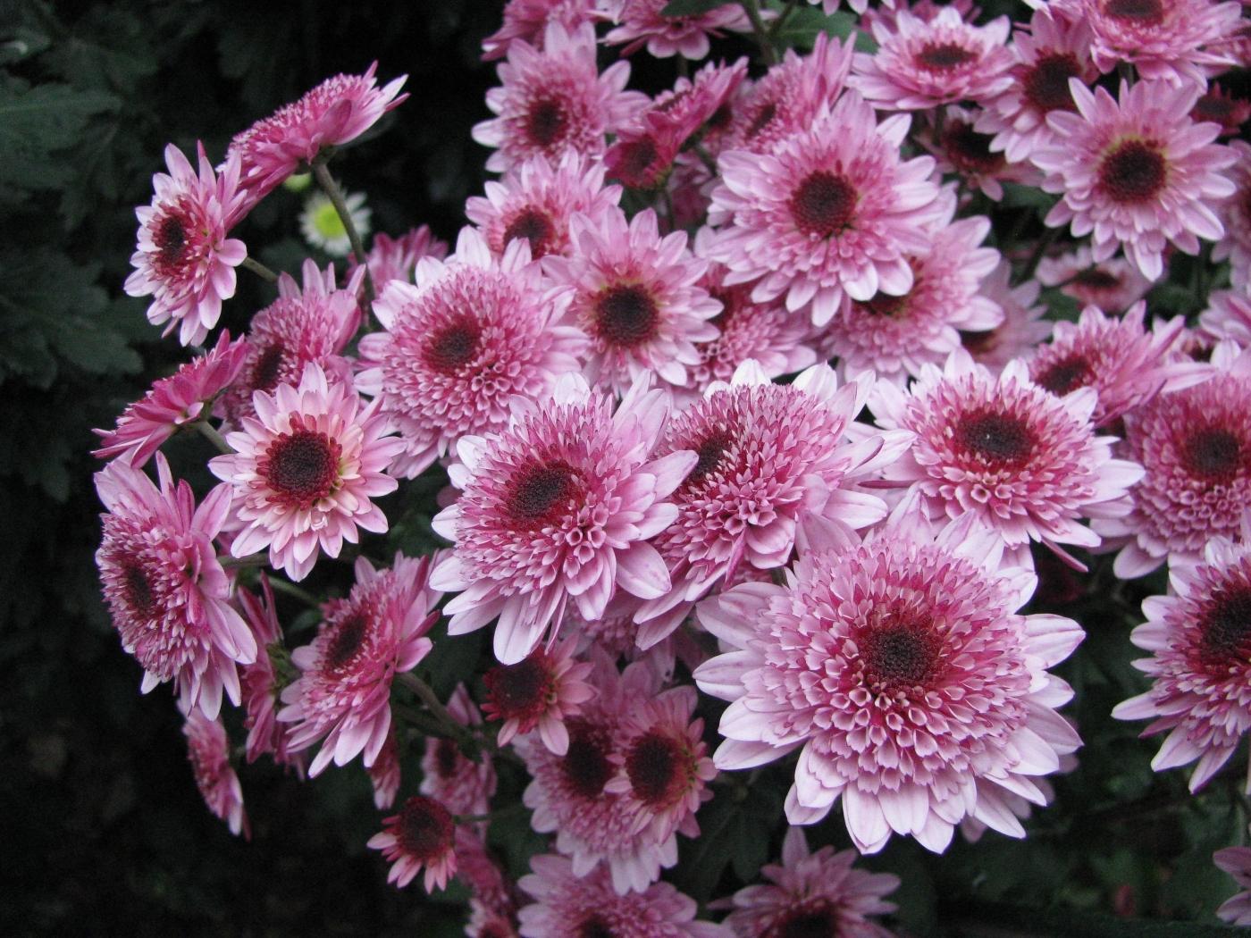 41361 скачать обои Растения, Цветы, Хризантемы - заставки и картинки бесплатно