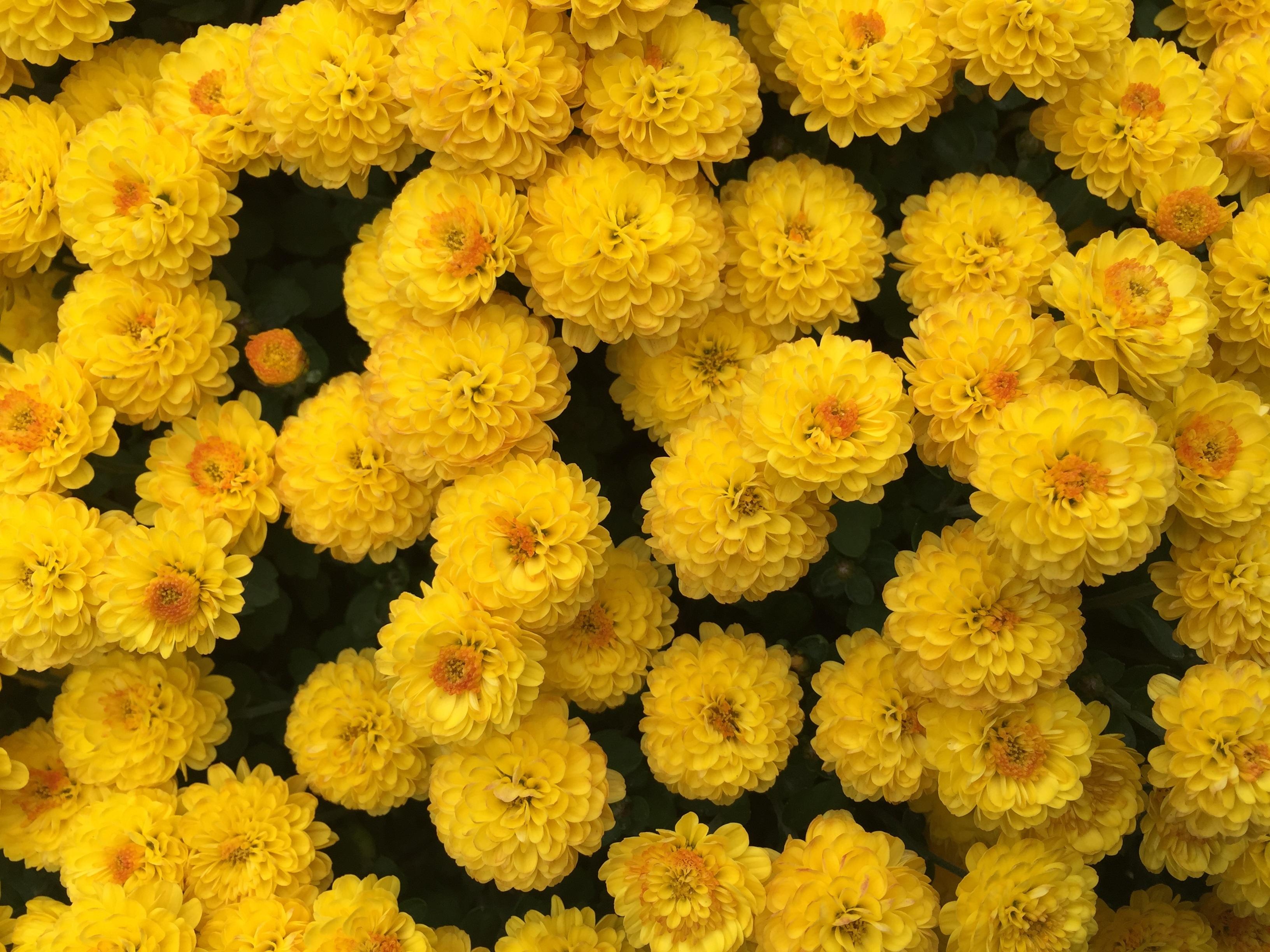73377 скачать обои Цветы, Желтый, Хризантемы - заставки и картинки бесплатно