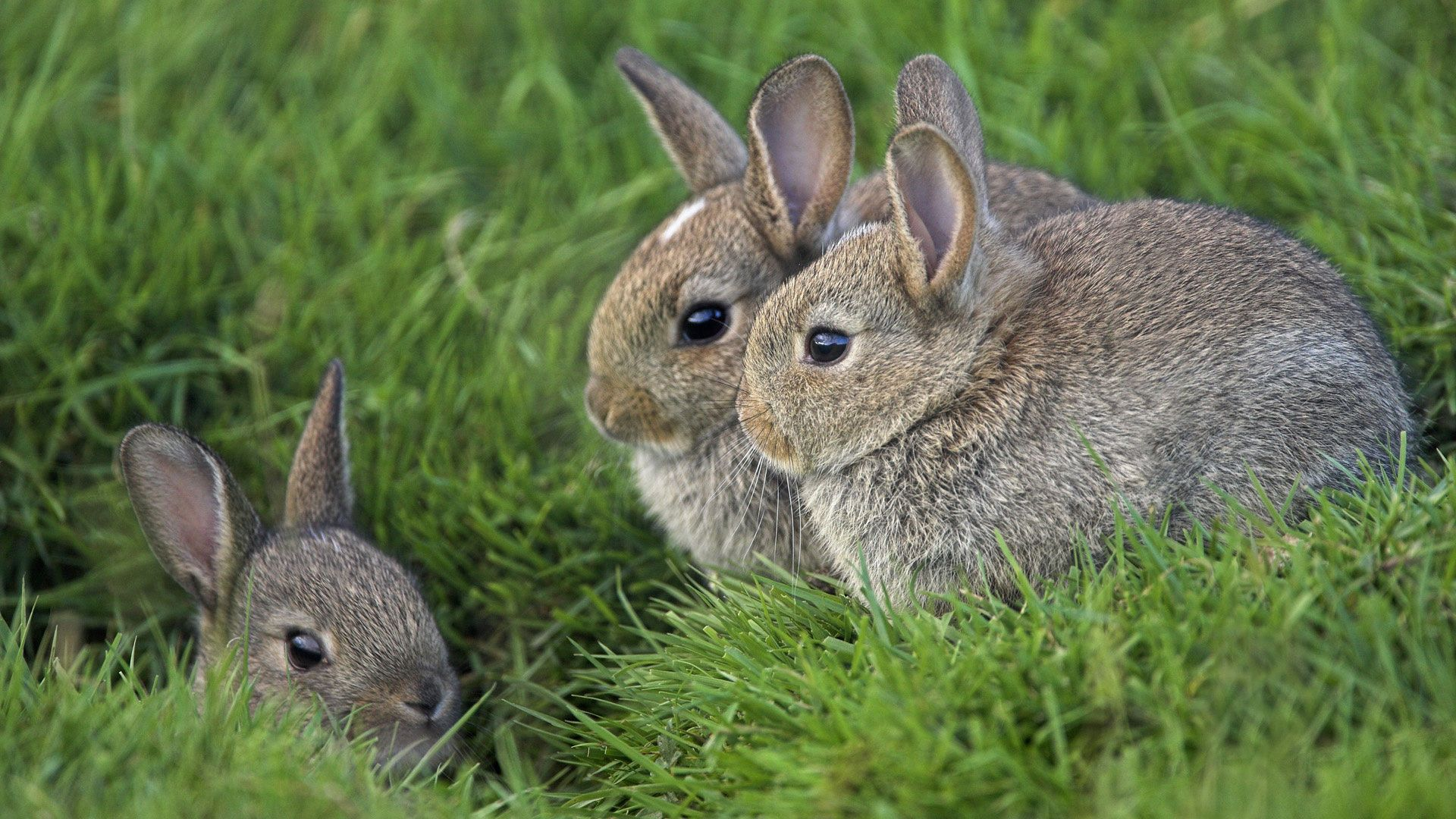 112288 download wallpaper Animals, Grass, Ears, Rabbits, Three, Eyes screensavers and pictures for free