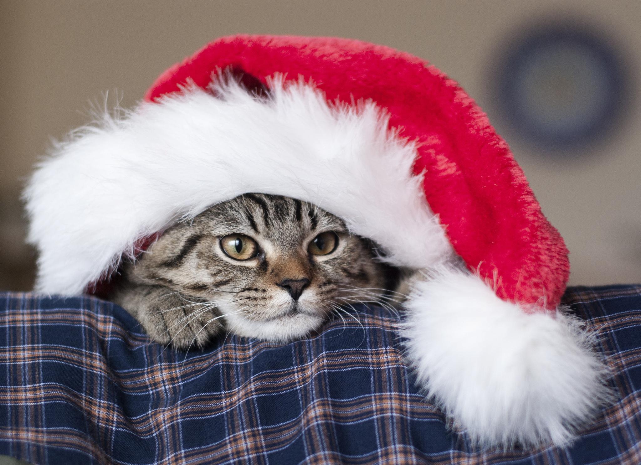 69462 Salvapantallas y fondos de pantalla Año Nuevo en tu teléfono. Descarga imágenes de Animales, Gato, Sombrero De Santa Claus, Sombrero De Papá Noel, Año Nuevo, Bozal gratis