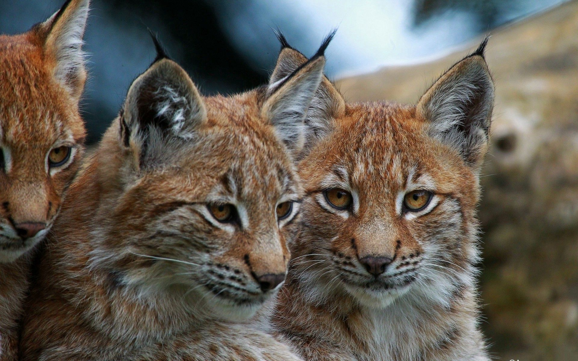 117065 download wallpaper Animals, Big Cats, Muzzle, Sight, Opinion, Bobcats screensavers and pictures for free