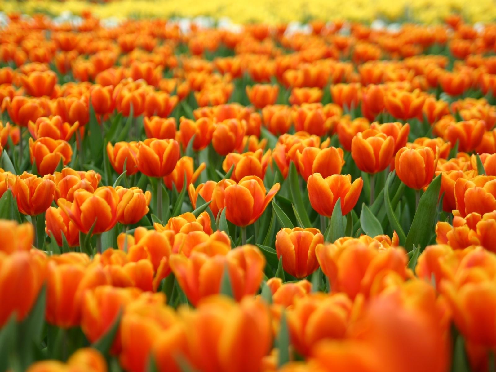 6907 скачать обои Растения, Цветы, Фон, Тюльпаны - заставки и картинки бесплатно