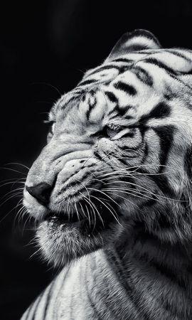 148906壁紙のダウンロード動物, 虎, 銃口, 視力, 意見, Bw, Chb-スクリーンセーバーと写真を無料で