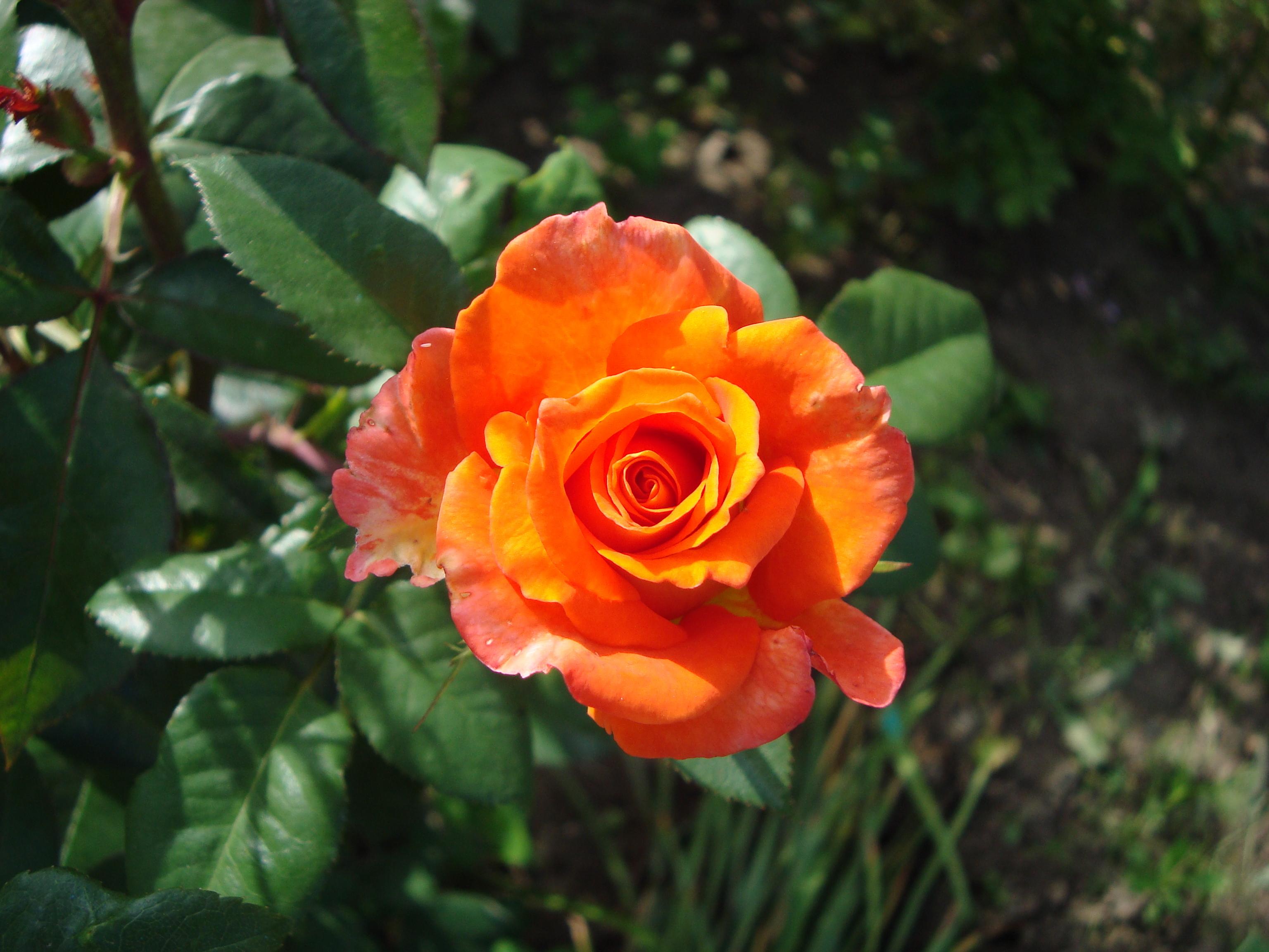 11137 скачать обои Растения, Цветы, Розы - заставки и картинки бесплатно