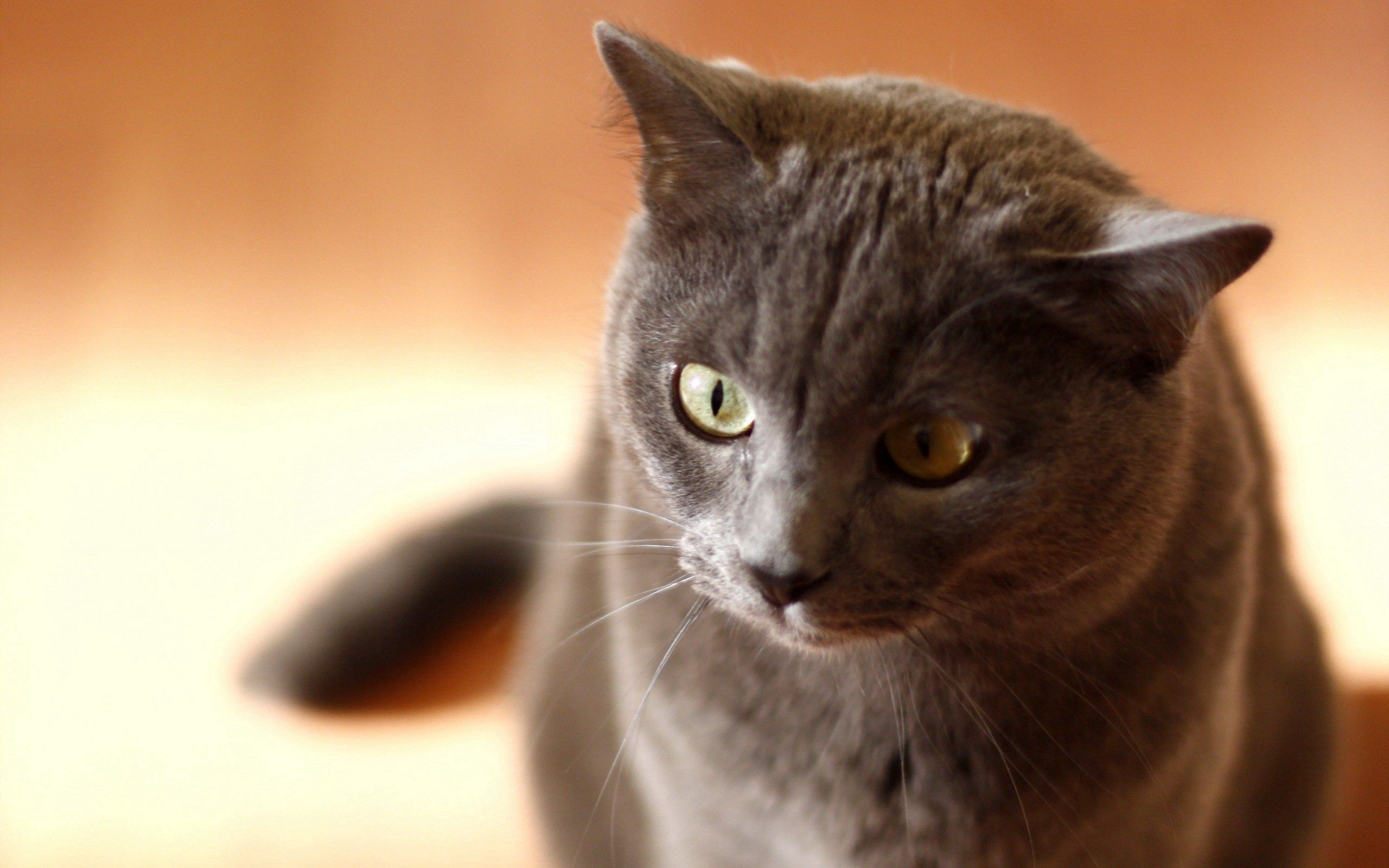 126143 download wallpaper Animals, Cat, Muzzle, Grey, Sight, Opinion screensavers and pictures for free