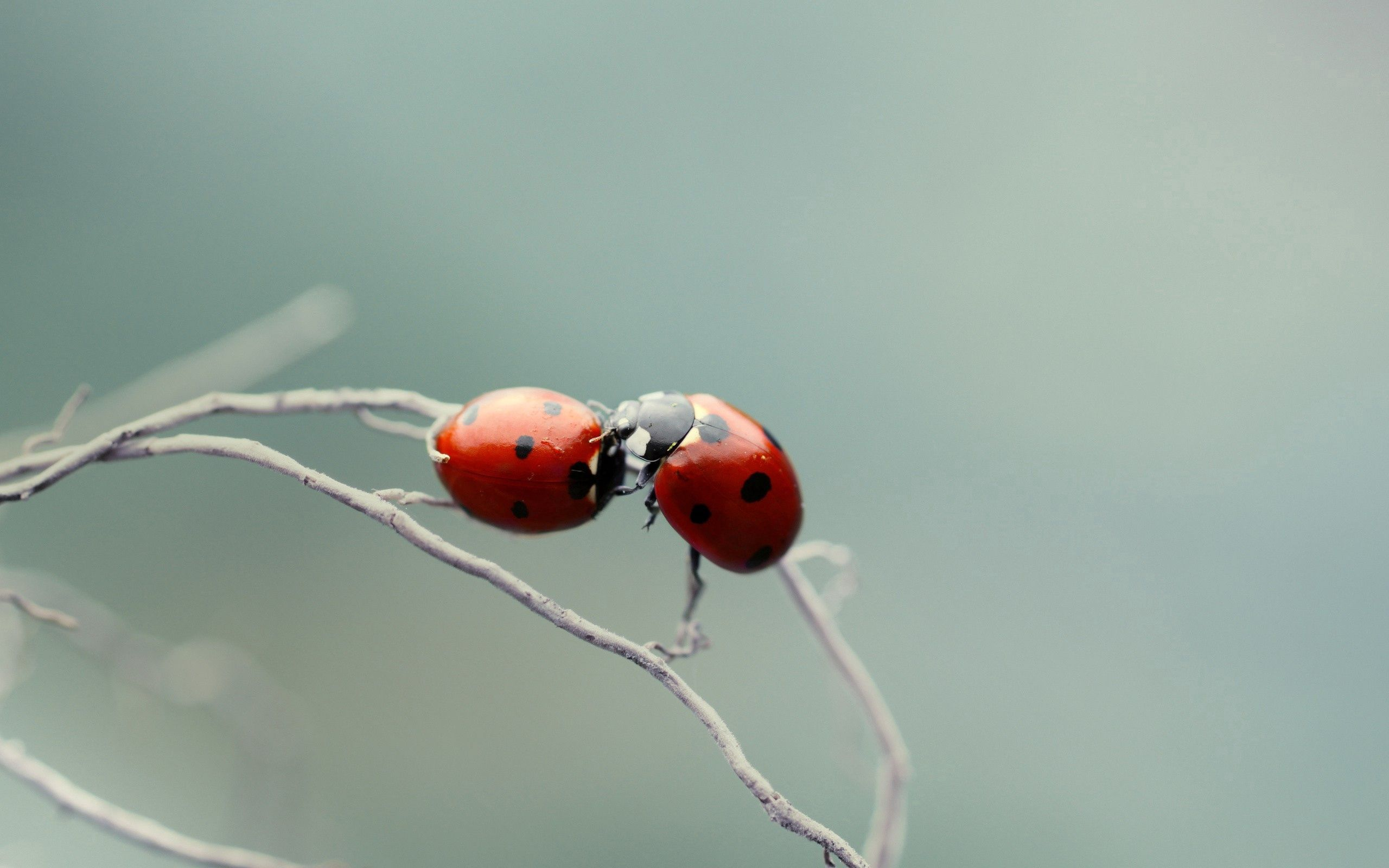 61127 download wallpaper Macro, Ladybug, Ladybird, Couple, Pair, Kiss, Plant, Branch screensavers and pictures for free